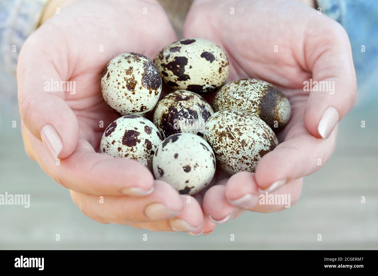 Seven speckled quail eggs in the hands of a woman close-up. Healthy eating. Easter concept. Shallow depth of field, selective focus. Stock Photo
