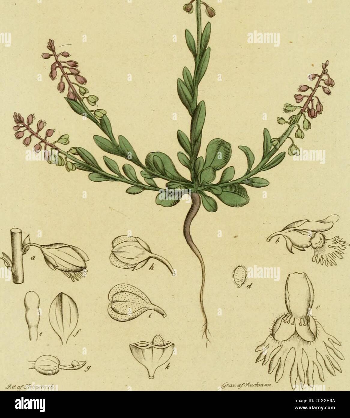 . Svensk botanik . cÄrf af-fåt/mj-fnicA 48/+.POLYGALA amara. Bitter Fågelört.Örtstjelkarne äro uppräte; bladen trubbiga, devid roten rundaktiga och vigglika. Blommor-na sitta i klase, och hafva bräm (en pensel-lik tillsats). Bl om fodrets vingar äro längreän Blomkronan, och med 5 nerver försedde. Linn. Sp. pl. p. 987. Cl. 17. Dia>ei.priA. OctARDBIA.— Liljebl. Sv. Fl. s. 5x5 Kl. 14. Tvåkullp. , med fröhus. — Retz. Fl. oec. s. 528- —Murr. App. Med. 2. p. 445. — Collin obs; 2. p. 2o5. — Phann. Po-lygalce amarse Herba, Radix. D, etta slägte har äfvensom Fumarierne, till hvilka detgränsar i Sexu Stock Photo