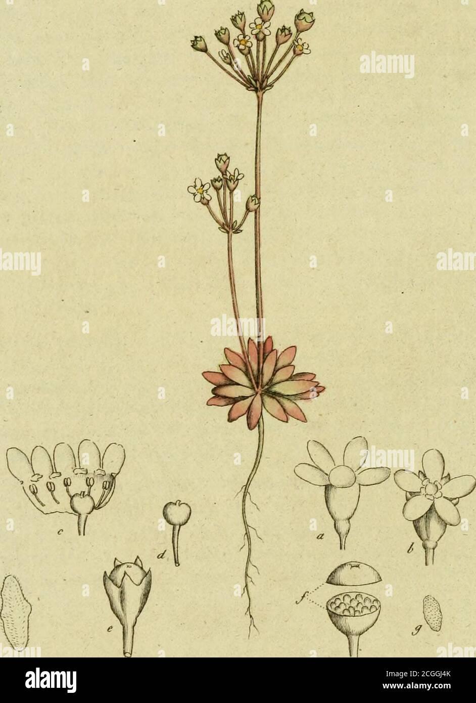 . Svensk botanik . ej så grönaktigt hvita. Men cgentliga åtskillnaden består i den lilla blomfoder-lika till-satsen under blomman, som hos den Lappska är fästadendast på sidan af stängeln, och på afstånd från kronbla-den ; hos den större åter, sitter blomfodret tätt under dem,och äger dessutom smala blomskärmar (bractese) som åt-skilja blommorna. Häraf synes den specifika åtskillnaden otvifvelaktig, ochdenna upplysning, som D. Wahlenberg först gifvit, är jem-te teckningen på begge, troligen icke utan nytta för demsom beflita sig om vexternas kännedom ; oaktadt ingen egent-lig förtjenst kan för Stock Photo