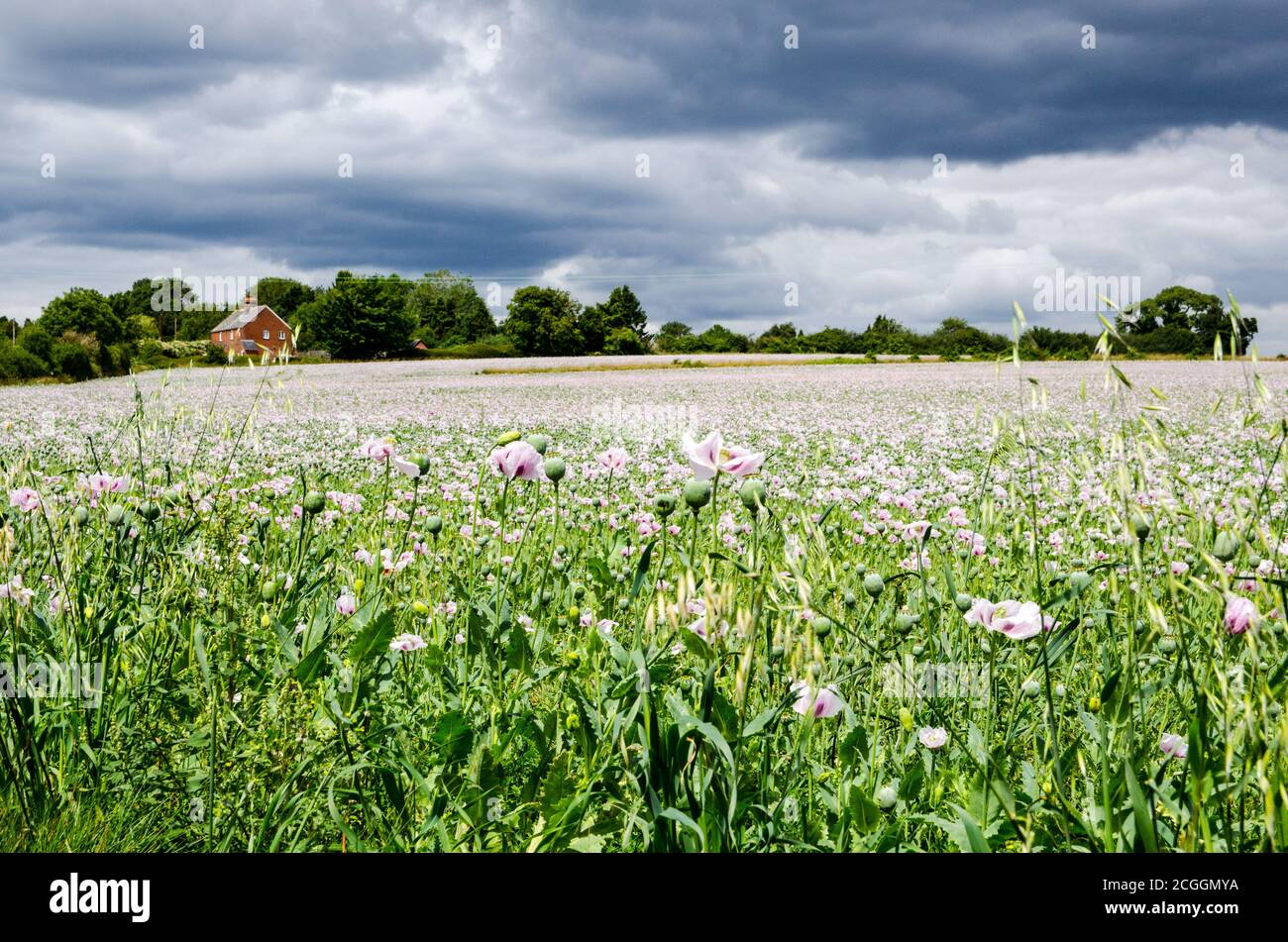 A field of opium poppies flowering on a farm in Basingstoke, Hampshire. The crop is used for the pharmaceutical industry. Stock Photo