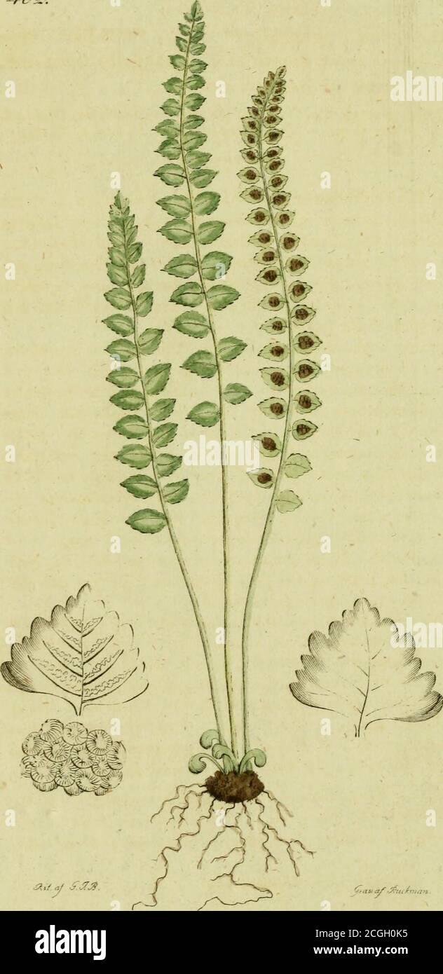 . Svensk botanik . omvippan blir aln lång, spridd och lutande, gemenligen med förlängdaoch parvis utgående större och smärre grenar, som äfvenkännas sträfva. Små-axen äro jemnbreda, afiånga, spetsade*hängande, mörkgröna och Hnludnn, bestående af 8-9 små-blomster som under blomningen utspärra något. Derasyttre skal äro olika stora, lansettlika med sträf köl, ochdet större har 3 nerver. Blomkrone skalen äro ock lansettlikaoch trinda, med sträf köl men knappt synbara nerver, ochden ena försedd i toppen med ett rakt borst af skalets halfvalängd; det andra skalet är mer linhårigt, med inböjd kant. Stock Photo