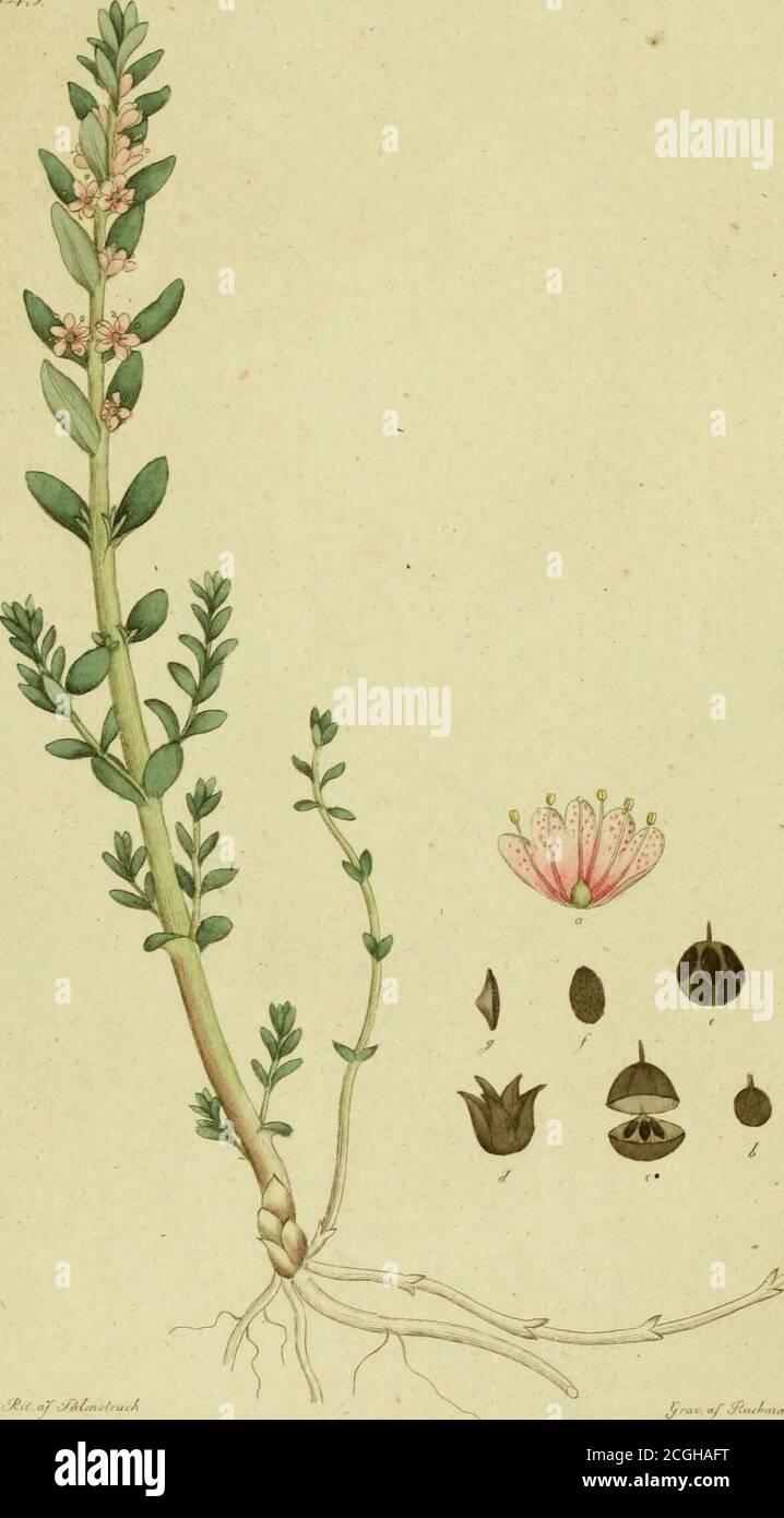 . Svensk botanik . ter ovalt Iansettlika, smånaggade blad,af en liflig grönska, men hvitmjöliga på den undra, ådiiga si.dan. Blomstängeln är lång och rak, hvitpudrad och bär enflock med många, stjelkade, lika höga, uppräta blommor, hvarsplatta biäm med upp- och nedvändt hjertformige flikar, haren behaglig röd eller fiolet färg, ehuru inunder .blekare. NärSvalan börjar visa sig, skyndar Blåvifvan att måla tufvornepå kärrängen, en syn som vore dubbelt förnöjande, om ejden lysande mängden vittnade om ställets ofruktbarhet, såsommagert och vattensjukt. Lika litet som blomman är märkvärdig för lukt Stock Photo
