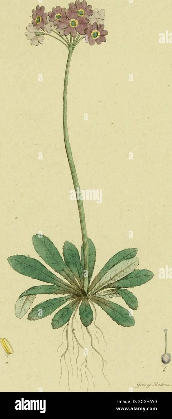 . Svensk botanik . h i blad-vecken, sammansatta af många greniga blomstjelksr, hvilandepå svepen af tagelsmala håriga delar. Blomfodrct är äfvenhårigt, försedt med många nerver, och de 2 understa tänder-né längre utstående. Blomkronan är purpurröd och luden isvalget. Vexten äger, liksom slägtingarne, Distan, Myn tör-ne etc. något aromatiskt, och ätes af Boskapen. Den varfordom införd på Apoteken, under namn af Calamintka Motftanajmen origtigt substitut för Melissa Calair.intha. Man harockså fördt Bergmyntan bland garfämnen för Läder, men sy-nes ej Förfjena någon uppmärksamhet för sådant ändamå Stock Photo