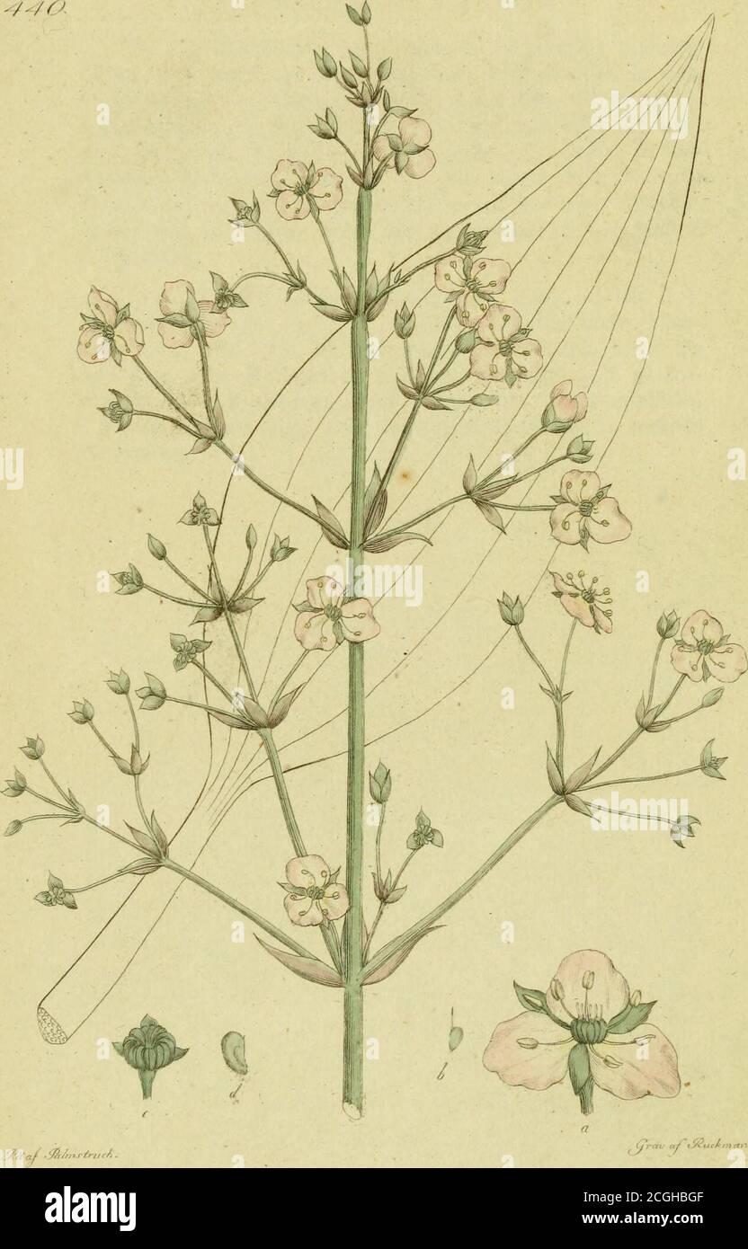 . Svensk botanik . tyckes visa att naturen ärnat den egenleligen till prydnad åtVildmarken. T a b. En del af busken blommande, i nat. storlek. —a.En blomma större gjord. — b. Nagva ståndare sedan blom-kronan är skild från det qvarsittande blomfodret. — c. Enståndare. d. Pistillen. — e. Blomfoders blad. _ f, g. Bla-dens form. __ h. Mynningen af blomkronan, sedd uppifrån,i. En utblommad opp, med de upprätte vettande — torkadeblommorna. -/-/o. 440.ALISMA Plantago aqvatica. Staker.Svai.ting. Pä F. Lehman ftjeli. Bladen äro egglika och spetsiga. Frukten trub-bigt trekantig. Blomvippan 3-faldigt sam Stock Photo