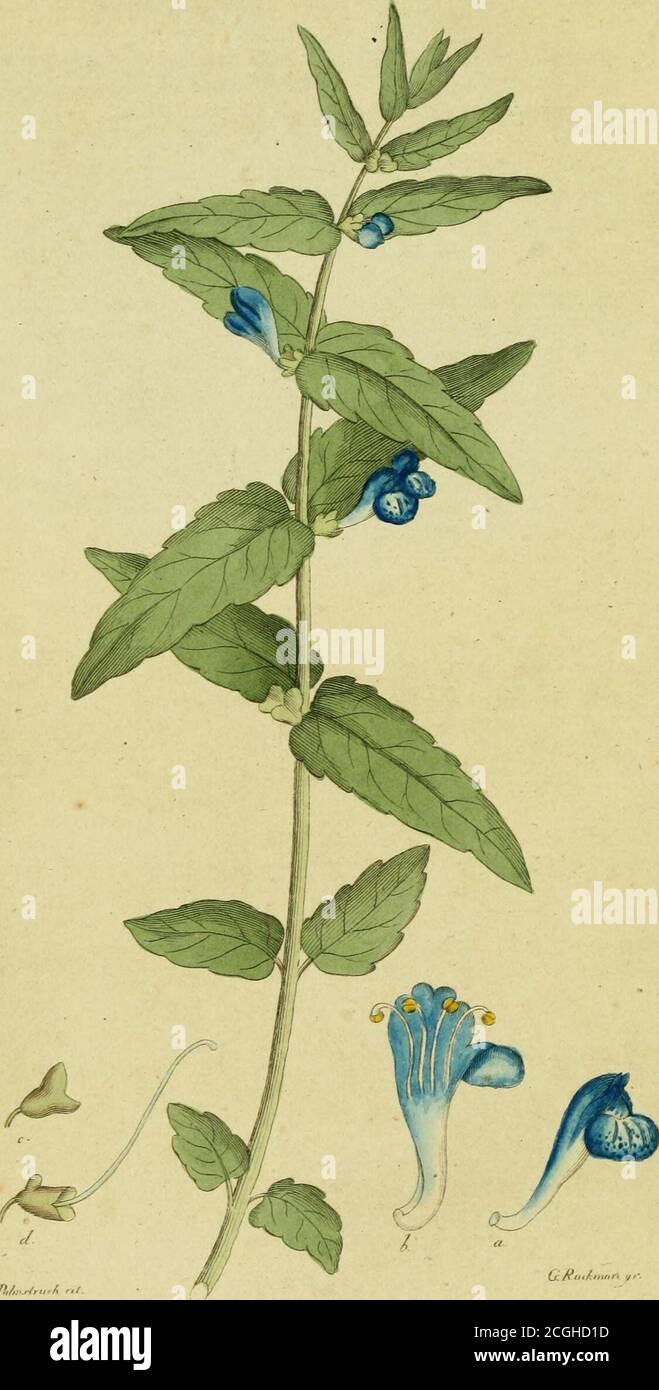 . Svensk botanik . ¤ro nästan af TrägÃ¥rds-Neglic.kans storlek, men de mÃ¥ngdelte, blekt violette kronblad-skif-vorne ge dem ett ännu prydligare utseende. Blomfodrct blirocksÃ¥ vanligen purpuVfärgadt. NÃ¥got efter midsommaren bör.jar blomningen, hvarunder den angenämaste lukt sprides, sär- 436. DIANTHUS SUPERBUS. deles om affnarne och nätteme, HushÃ¥llsnyttan är sÃ¥ledes c-gentligen den, att Blomsterälskaren finner i Vexten ett före-mÃ¥l, som genom det att den förnöjer honom, lönar hans mö-da att odla den, hvilket sker lättast dÃ¥ fröna sÃ¥s om vÃ¥ren,som vanligt, i bank och p Stock Photo