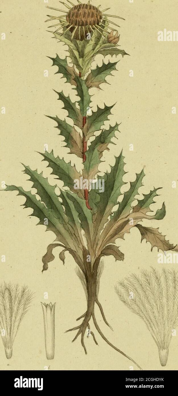 . Svensk botanik . ch toppensstympande på de yngre, hindrar följakteligen växten. Medden inre barken skall ylle kunna färgas gult. Damåourneysiörsök har likväl icke besannat det. Fortplantningen af detta Trädslag, så förträffligt för desstäthet och aldrig masktungna blad, sker aldralättast genomfrö, hvilka, om de samlas vid löffallet, och sedan de torkat,utsås och nedmyllas genast om hösten, radtals i par tum dju.pa fåror. Våren, ett år derefter, kunna plantorne, tillbörligtåtskiljde utsättas, antingen i häck eller der man behagar.Med rotskott och afläggare kan väl ock förmering skej menär möd Stock Photo