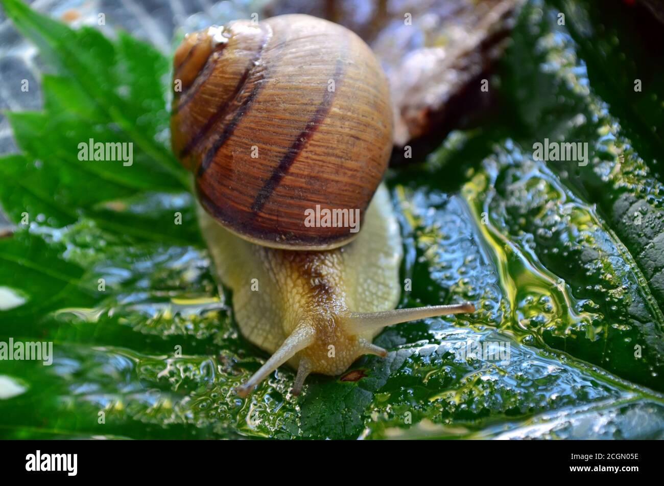 Gastropod. Common garden snail crawling on a green leaf. Fauna of Ukraine. Shallow depth of field, closeup. Stock Photo