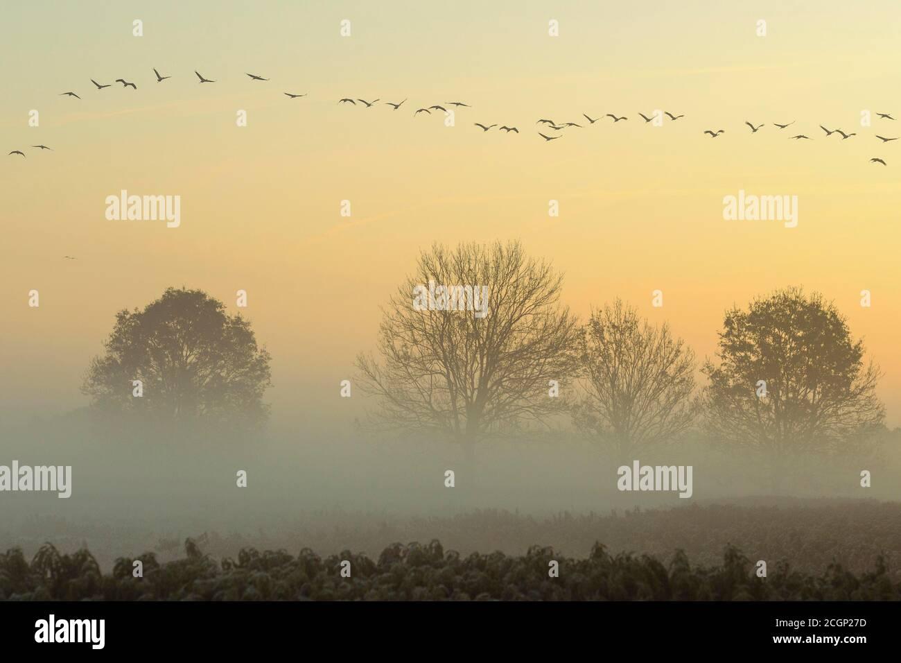 Migrating cranes (grus grus) in autumn over trees in misty landscape, Goldenstedter Moor, bird migration, Oldenburger Muensterland, Lower Saxony Stock Photo