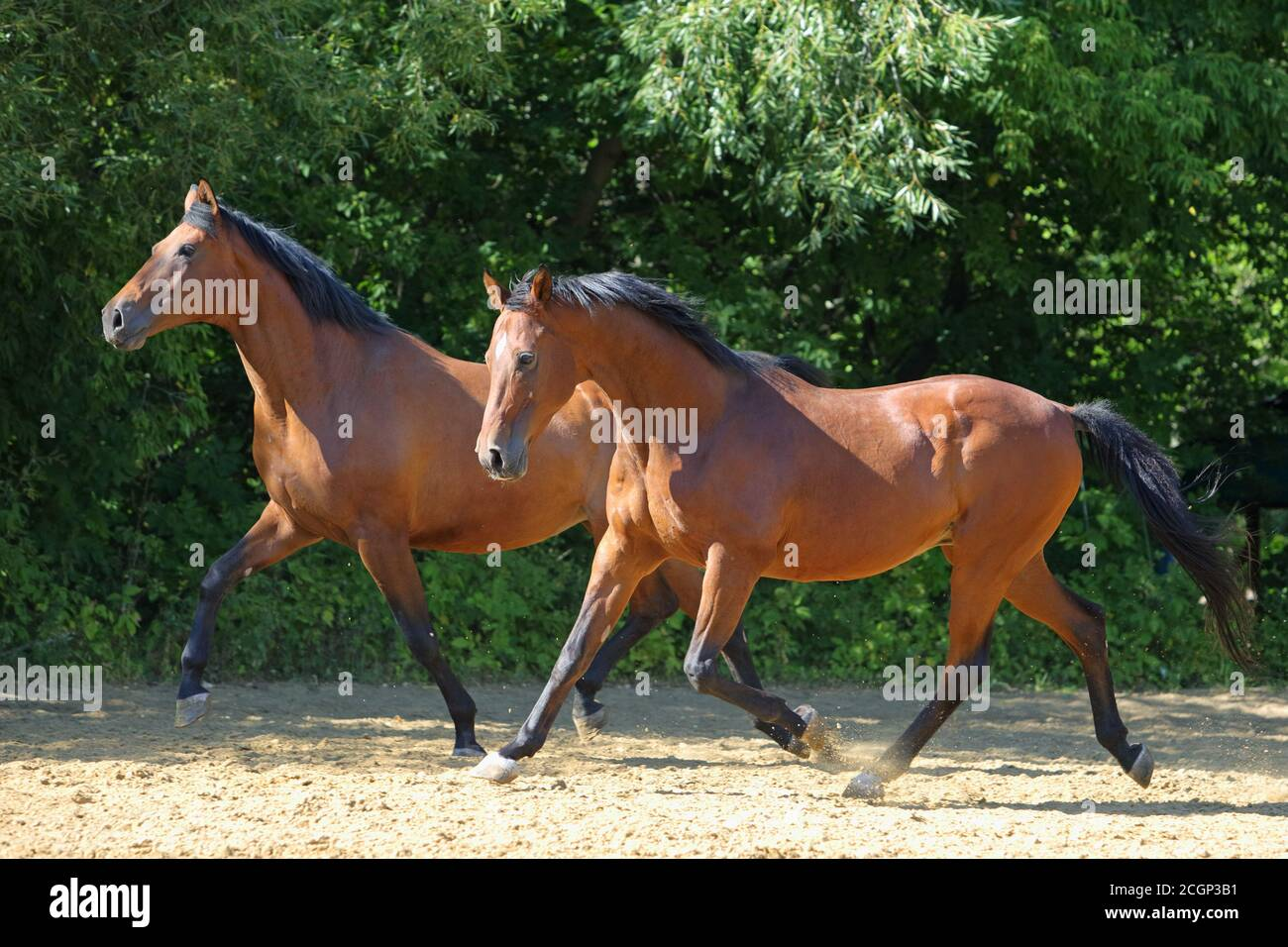 Two Horses Running High Resolution Stock Photography And Images Alamy