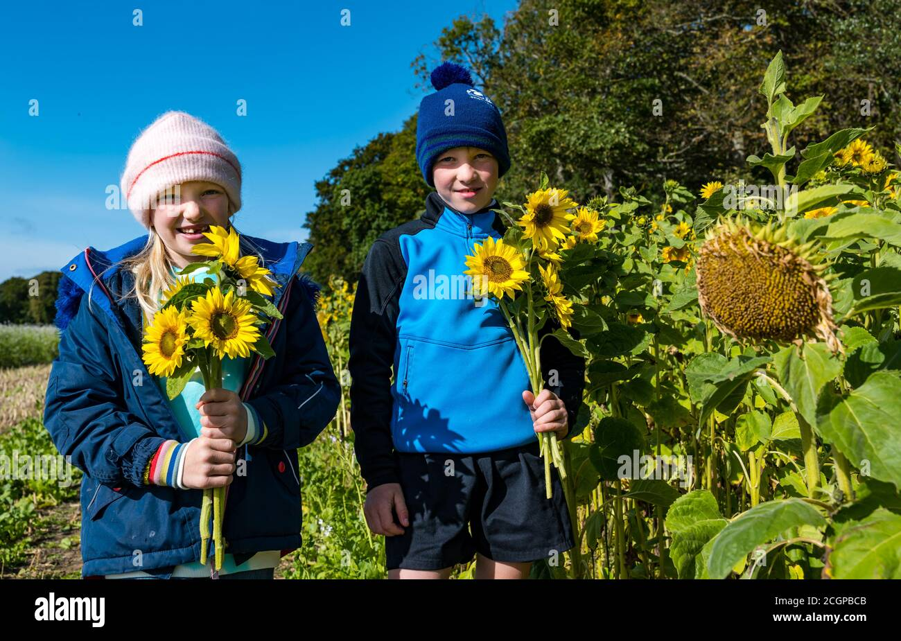 East Lothian, Scotland, United Kingdom, 12th September 2020. UK Weather: sunflower picking. Luffness Mains Farm is offering locals the opportunity to pick a maximum of 15 sunflowers per family on a sunny day. Pictured: Matilda, aged 8 years and her brother Hamish, aged 9 years, holding bunches of sunflowers Stock Photo