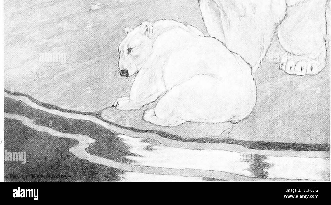 . More kindred of the wild . She lifted her long black-edged muzzle and sniffed sharply. More Kindred of the Wild] 157 MOTHERS OF THE NORTH 159 stood signal, stood moveless also. One ofthe earliest lessons learned by the youngstersof the wild is to keep still. There was not a walrus in sight, but thebears nostrils could not deceive her. Sheknew the huge sea-beasts were there, on theother side of the island, and she knew theywould be very much at ease on such a day asthis, basking in the sun. Walruses were notthe quarry she would have chosen. Thegreat bulls, courageous and hot-tempered,the powe Stock Photo