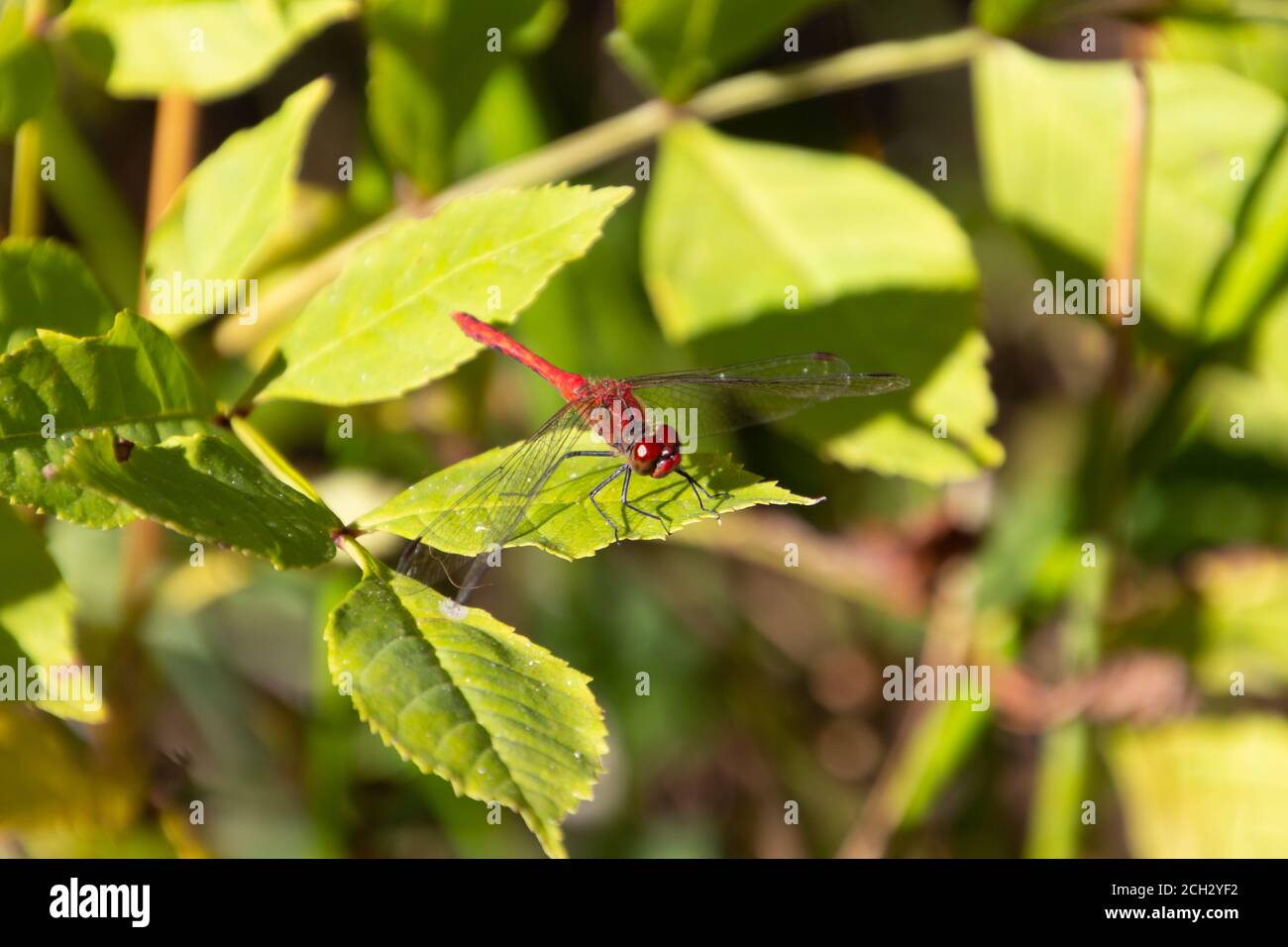 Close up of a scarlet darter dragonfly, also called Crocothemis erythraea or Feuerlibelle Stock Photo