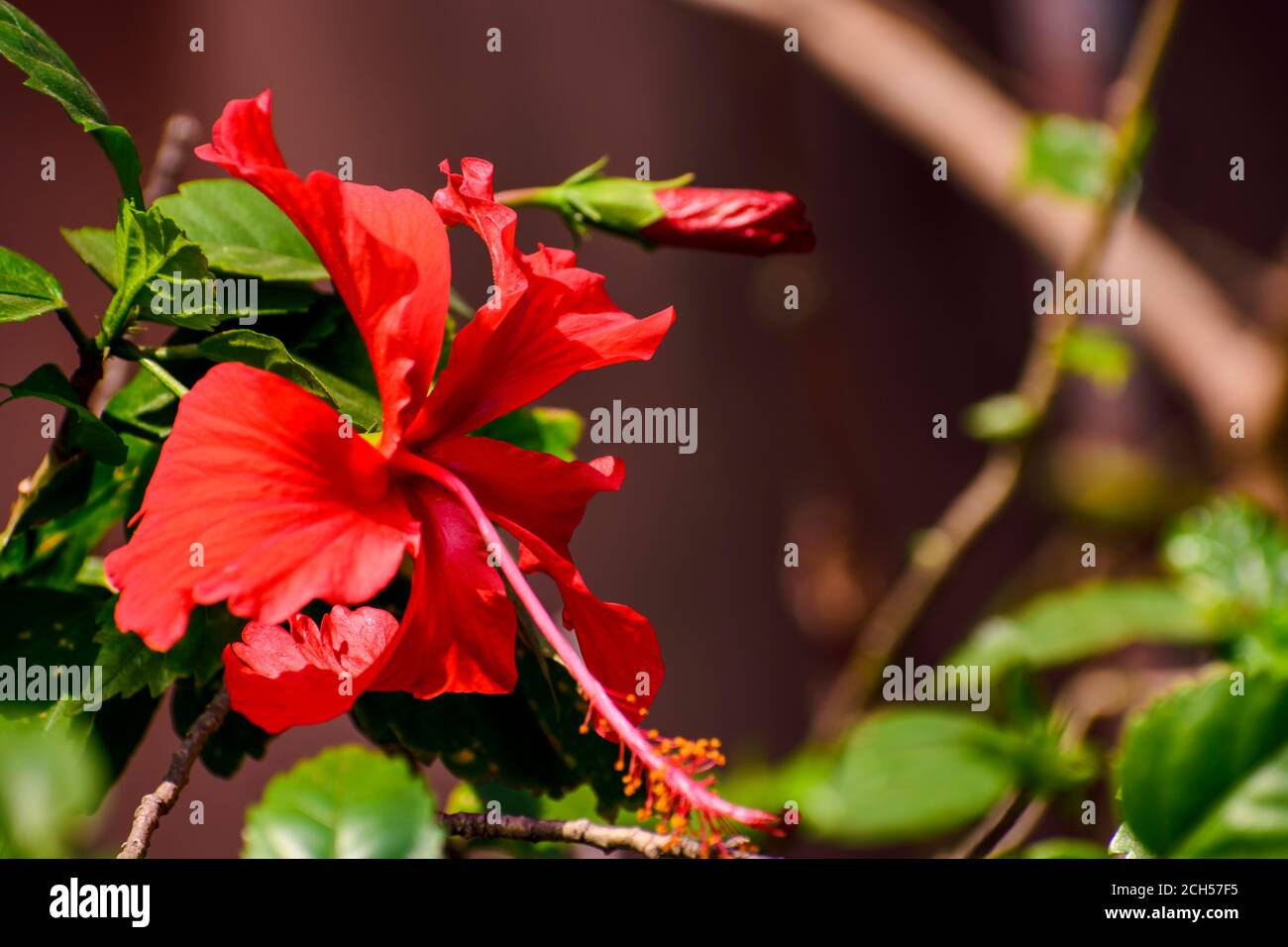 Hibiscus Flower With Leaves And Branches In Flower Garden Stock Photo Alamy