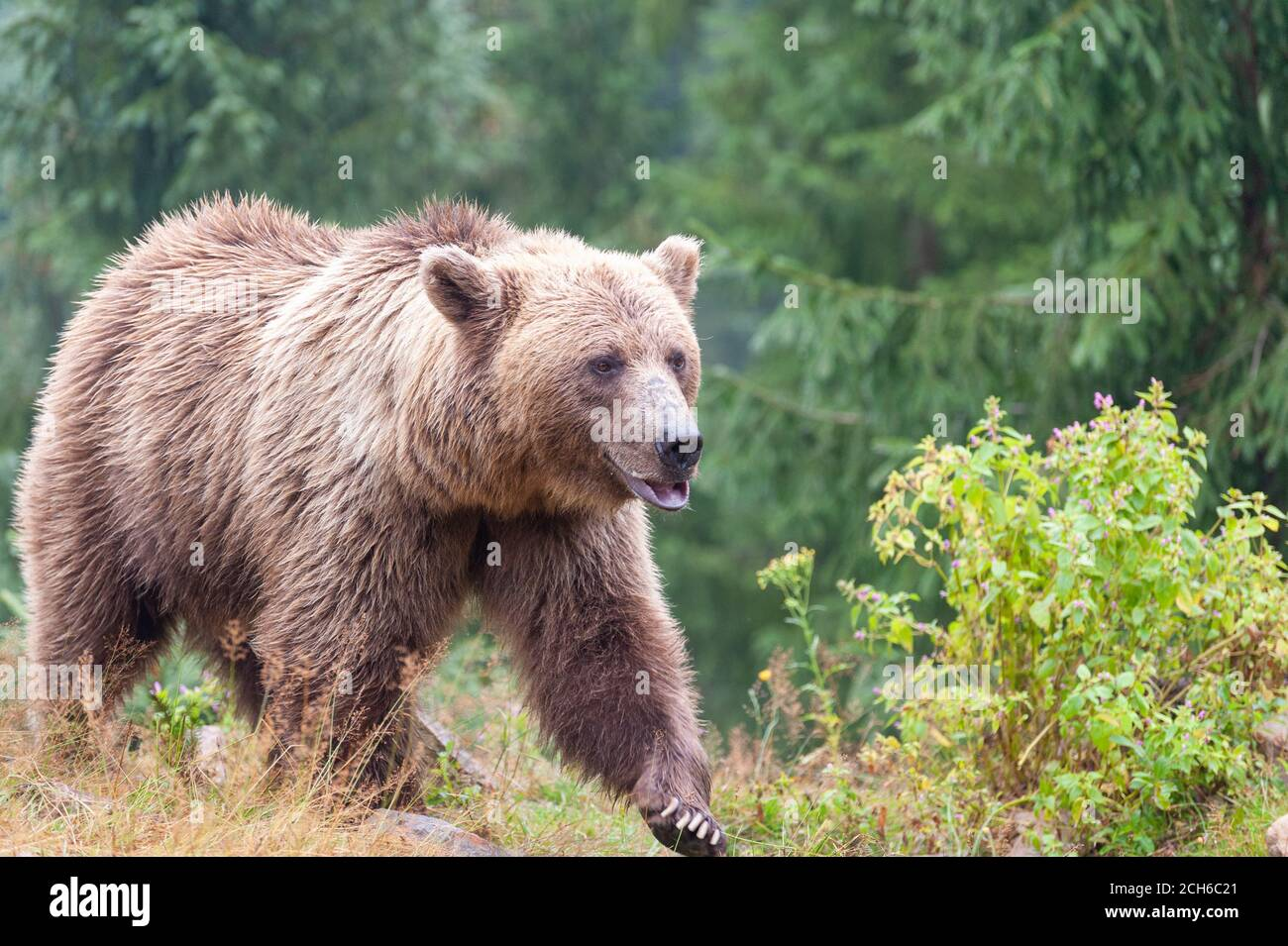 Brown bear (Latin Ursus Arctos) in the forest on a background of wildlife. Stock Photo