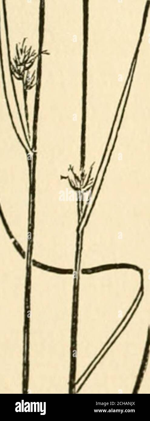 . The book of grasses : an illustrated guide to the common grasses, and the most common of the rushes and sedges . ers of dark brown pointed spike-lets are borne at intervals alongthe stem. White Beaked-rush(Rhynchospora alba), a smaller andmore slender species than the pre-ceding, is also common in moistgrounds. The leaves of WhiteBeaked-rush are light in colour, andthe few flower clusters borne nearthe summit of the stem are ofpure white. NUT-RUSHES. (Scleria) The Nut-rushes are small, slen-der sedges, not uncommon inmarshes and low meadows duringmidsummer, although seldom no-ticed among the Stock Photo