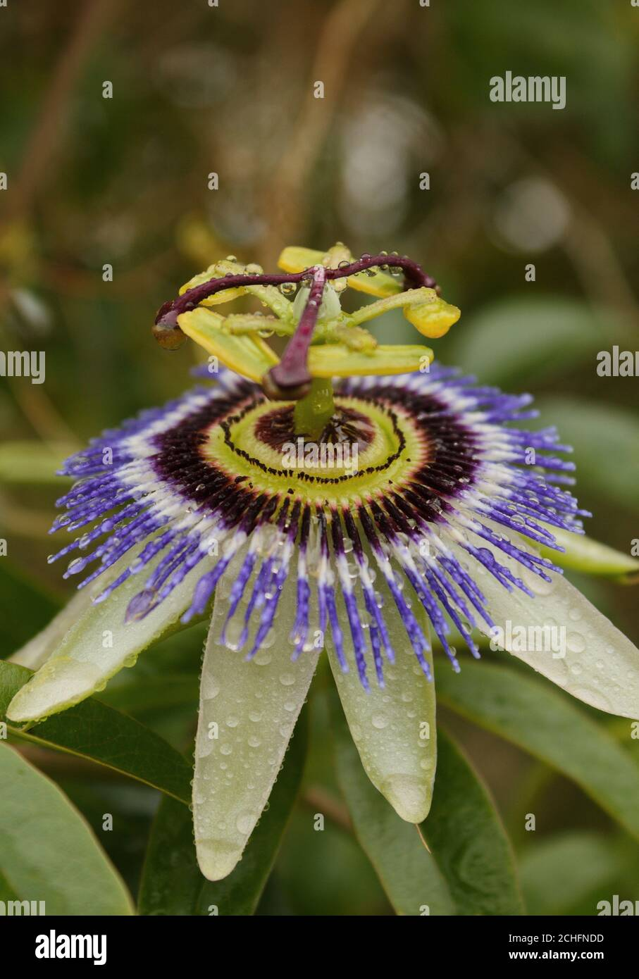 Softly lit passion fruit flower Stock Photo