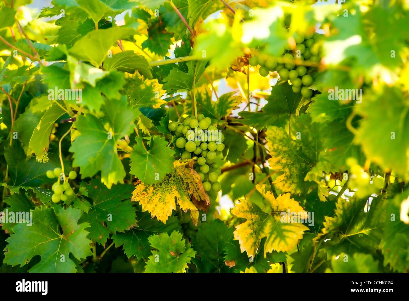 grapes at a grapevine in autumn Stock Photo