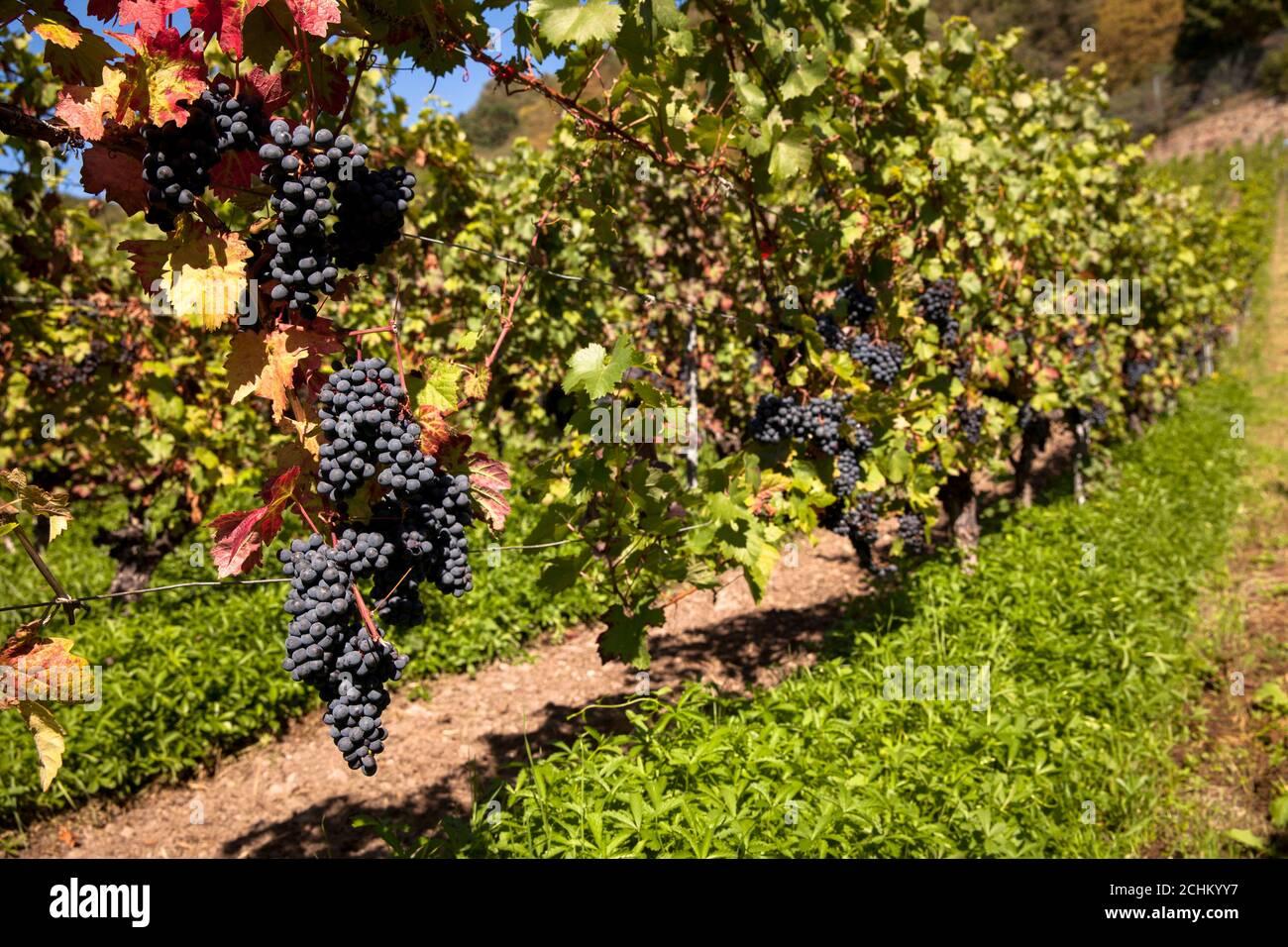 winegrowing at the Drachenfels hill between Koenigswinter and Bad Honnef, red wine grapes, North Rhine-Westphalia, Germany.  Weinanbau am Drachenfels Stock Photo