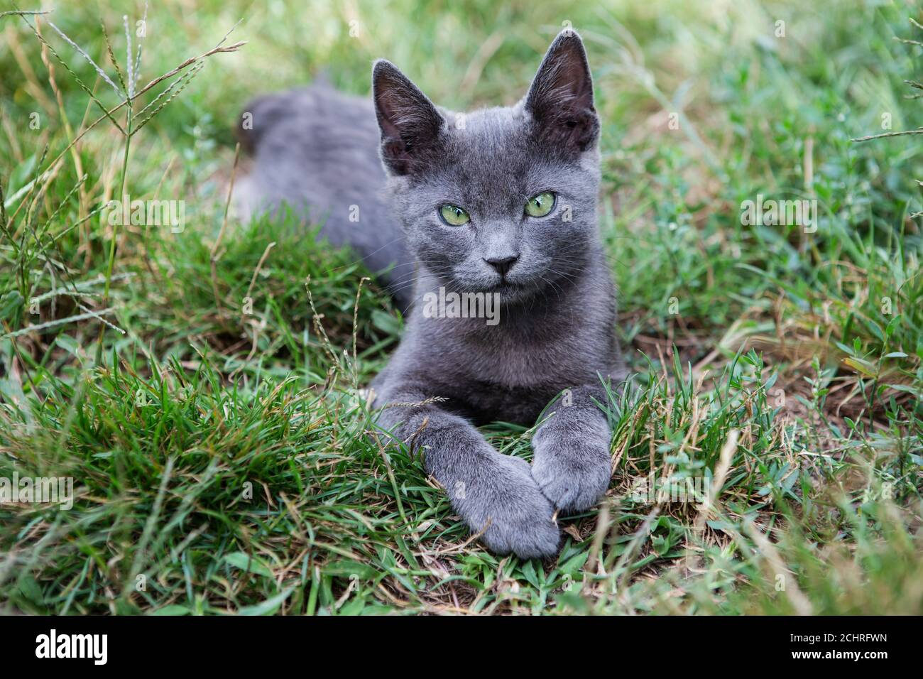 Russian blue cat. A small gray green-eyed pedigree kitten sits on the green grass. Stock Photo
