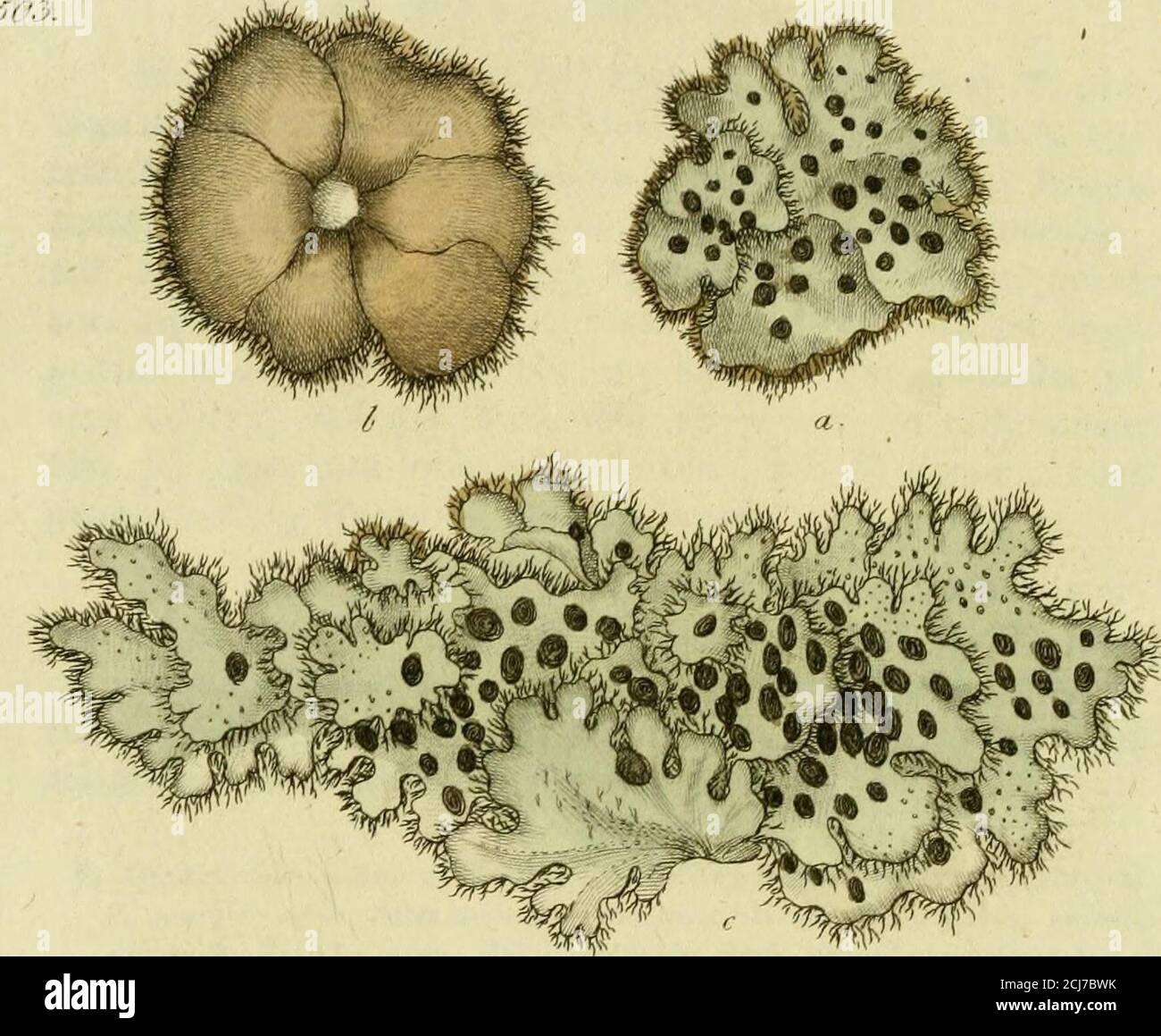 . Svensk botanik . likt medutspärrande blomster. — c. blomfoder-skalen med fästetfor kronskalen. —- d. begge kronskaien öppnade, medståndare och pistiller, förstorade. •) Utrikes har denne af Botanisterne bl i tv i t merendels för P. palustrisL. ansedd, men detta species försvinner nästan till namnet, sedan,enligt Dr Smiths intyg, det i Linneiska Herb. varande, är dttnsammasom Leersia Oryzoides , som äfven hör lill Sv. Flora.. Stock Photo
