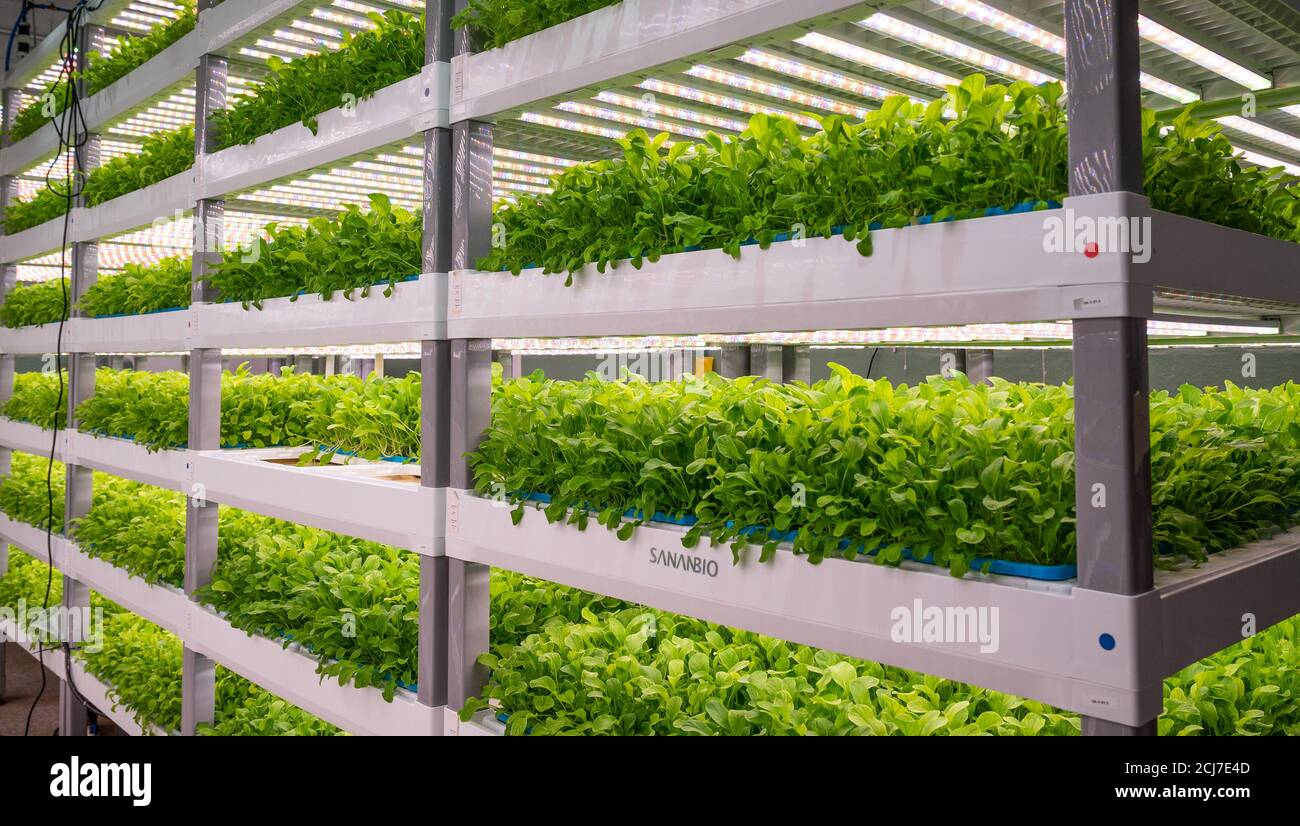 Wilmington, United States. 14th Sep, 2020. A view of the plants growing in an indoor hydroponic chemical- and pesticide-free vertical farm at Second Chances Farms. Credit: SOPA Images Limited/Alamy Live News Stock Photo