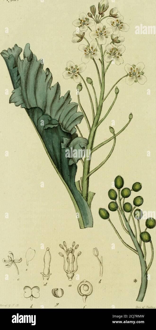 . Svensk botanik . tet.-Detta är försedt upptill med ett lansettformigt, hölsterliktblad, litet ofvanför hvilket, merendels 3 enkla, odelta,släta, enblommiga blomstjelkar sitta i flock, omgifne ne-derst med ett svepe af 5 små och fina blad. Blommornaäro också gula, men kronbladen i ändarne trubbiga, me-delst hvilket, och med de enkla blomstjclkarne, arten vidförsta åsynen kan igenkännas. Emedlertid har den for-dom varit för den andra misstagen (Fl.. Dan. t. 612.) hvil-ket dock långt före detta blifvit anmärkt. Någon egentlig hushållsnytta är icke bekant att afdessa kunna him Stock Photo