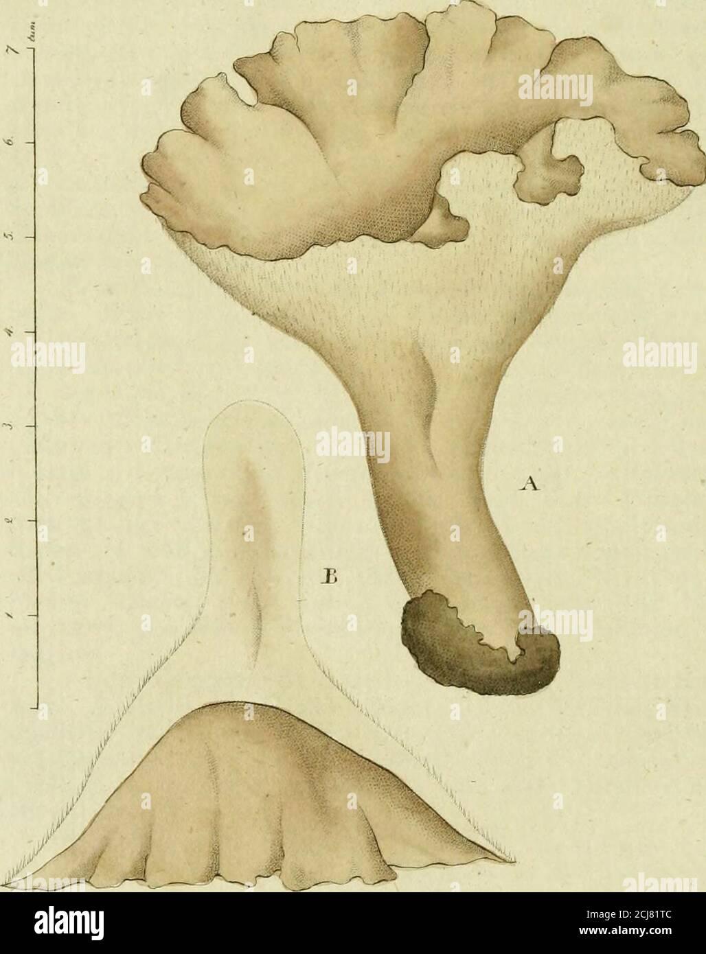 . Svensk botanik . ch den gröna massan, som förut liktett band genomstrukit tråden, samlar sig i vinklarne afleder ne. Af de här upptagne arter lefva de två i färskt vatten,neml. D Swortzii, som blifvit funnen både i Halland, Vest-manland och Vermland, och D. tennis som finnes i en bäckvid Fogelsang nära Lund. Deremot finnes D. fasciculalai Ii al vet på Ceramier, hvilka den som små k» ist fillika nå-lar betäcker. A * * *. Tab. Fig. x. Ett knippe af Diatoma Swartzii i nat. stor-lek. — 2. En tråd före copulationen. — 3. Två trådar co-pulerade samt upplöste, båda mycket förstorade. 4- Diatoma ten Stock Photo