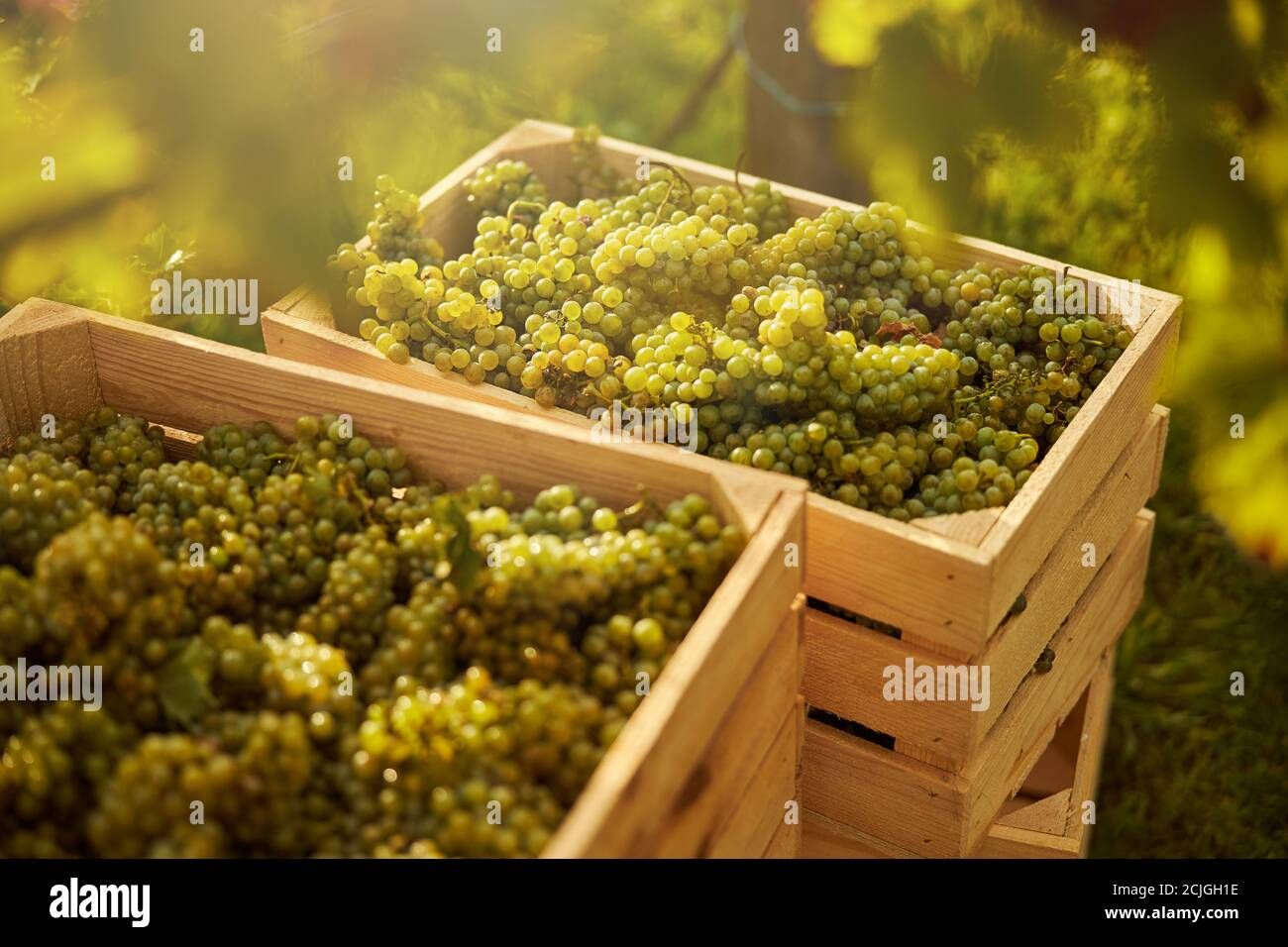 Freshly-picked ripe white grapes in wooden boxes Stock Photo
