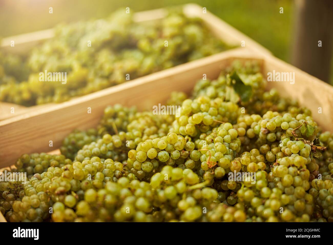 Freshly-harvested ripe white grapes in wooden boxes Stock Photo