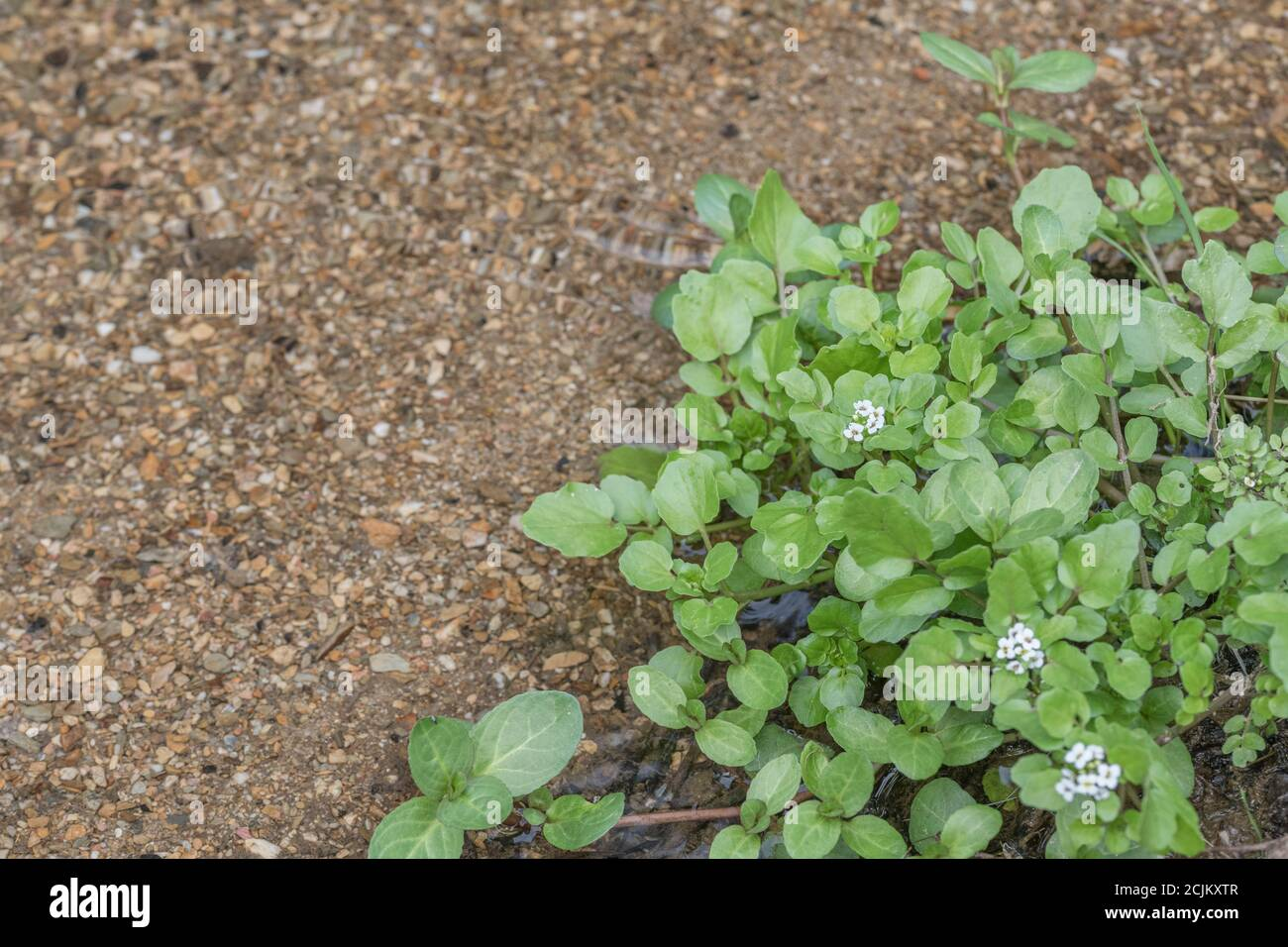 Small patch of flowering wild Watercress / Nasturtium officinale growing wild in freshwater stream. Concept small stream, medicinal plants, wild food. Stock Photo