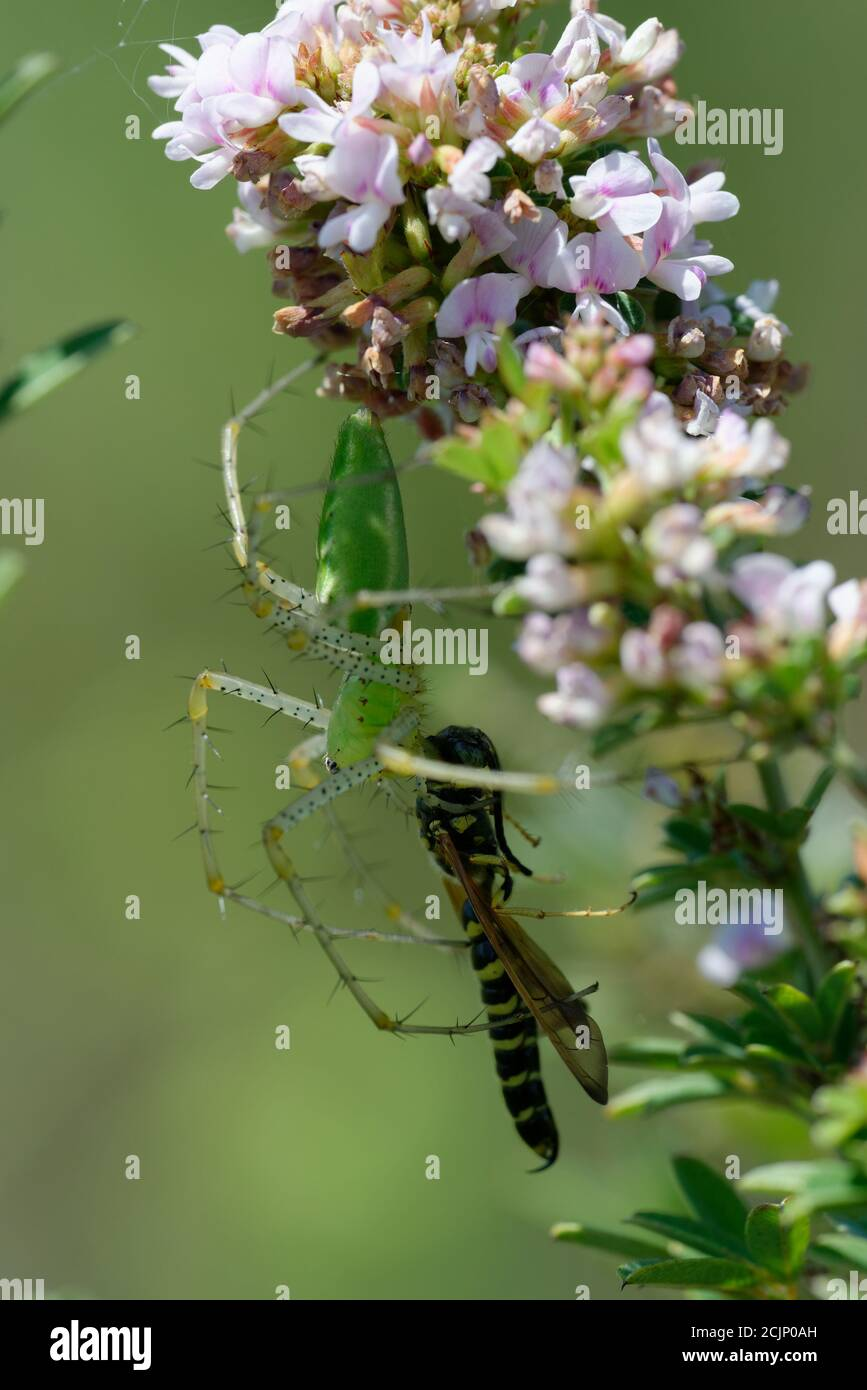 Green lynx spider with prey Stock Photo