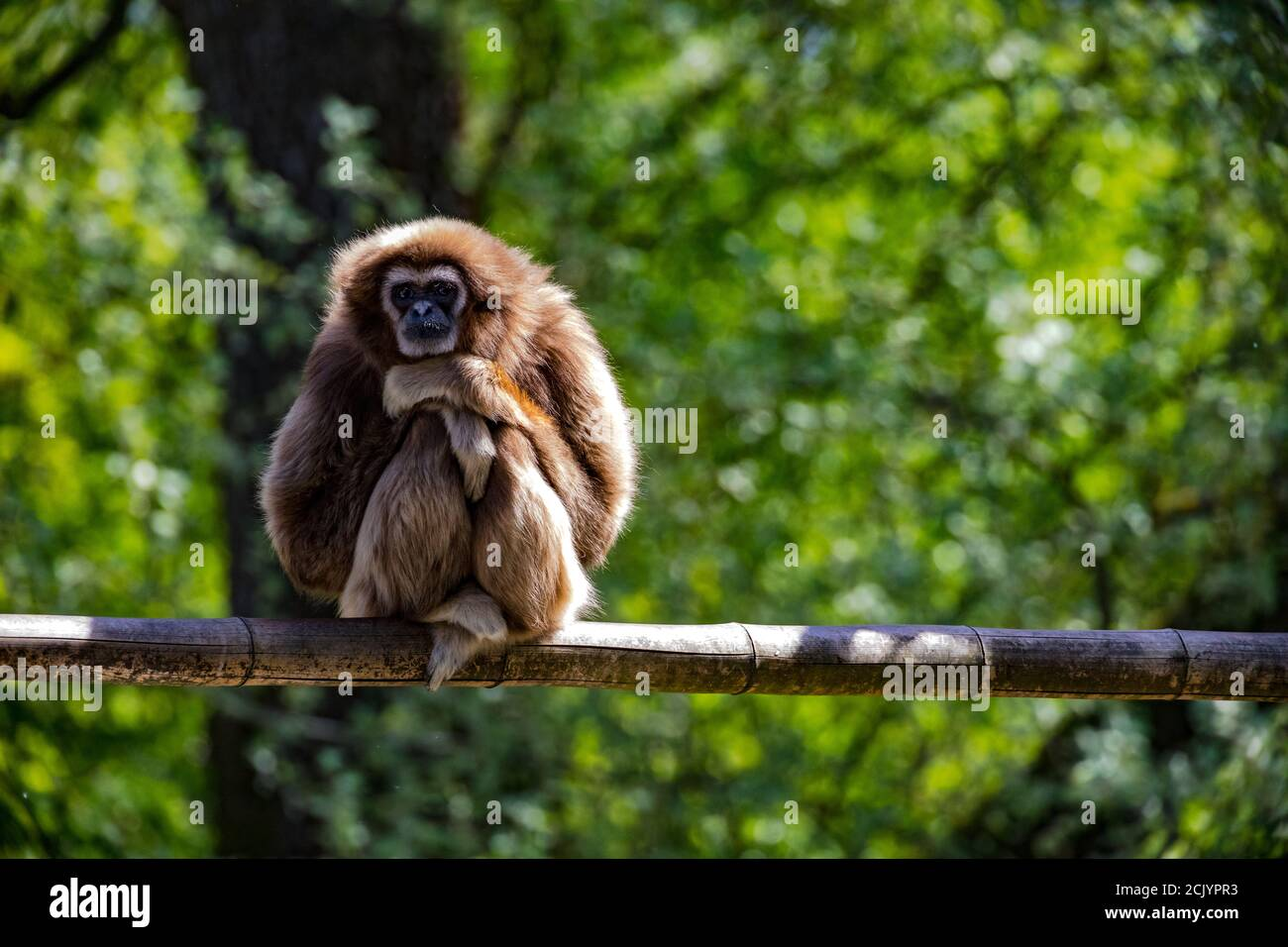 An intelligent capuchin monkey who poses as the thinker sitting on a branch Stock Photo