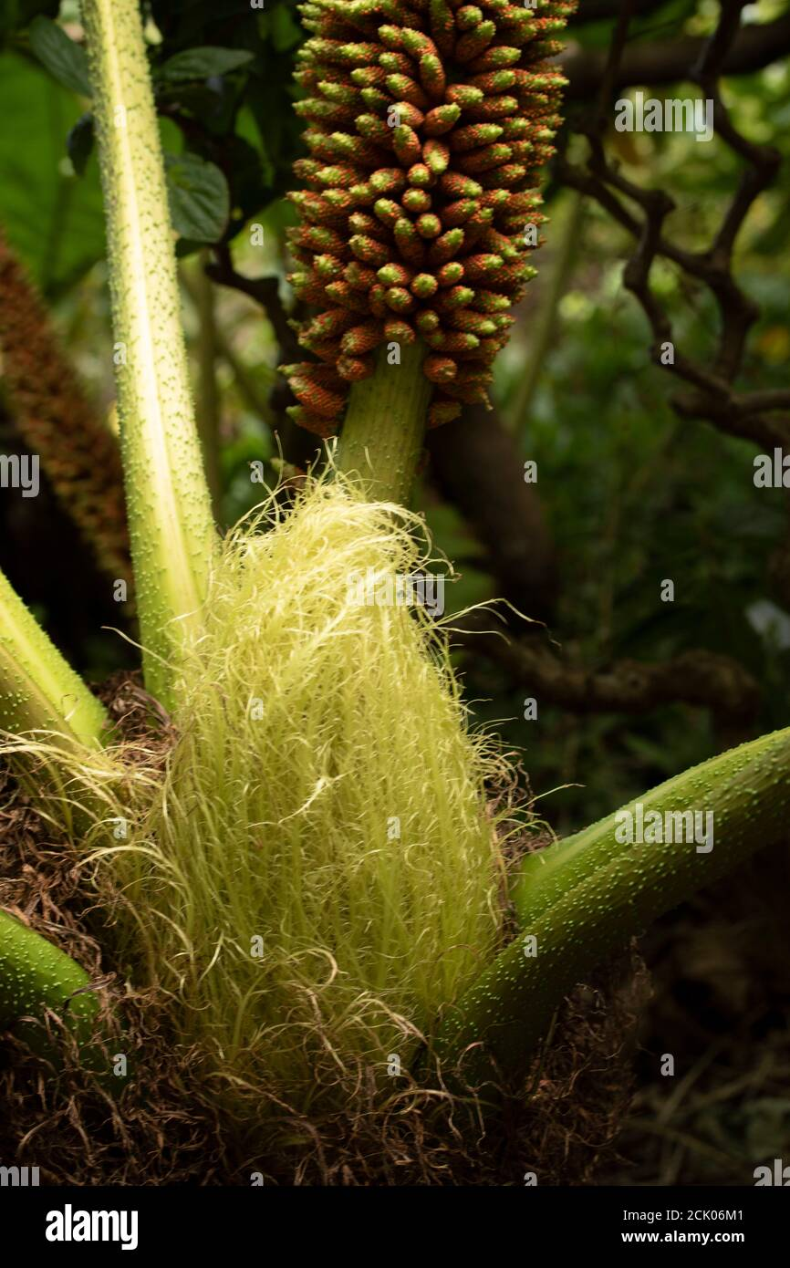 Gunnera Tinctoria, patterns and shapes in nature portrait Stock Photo