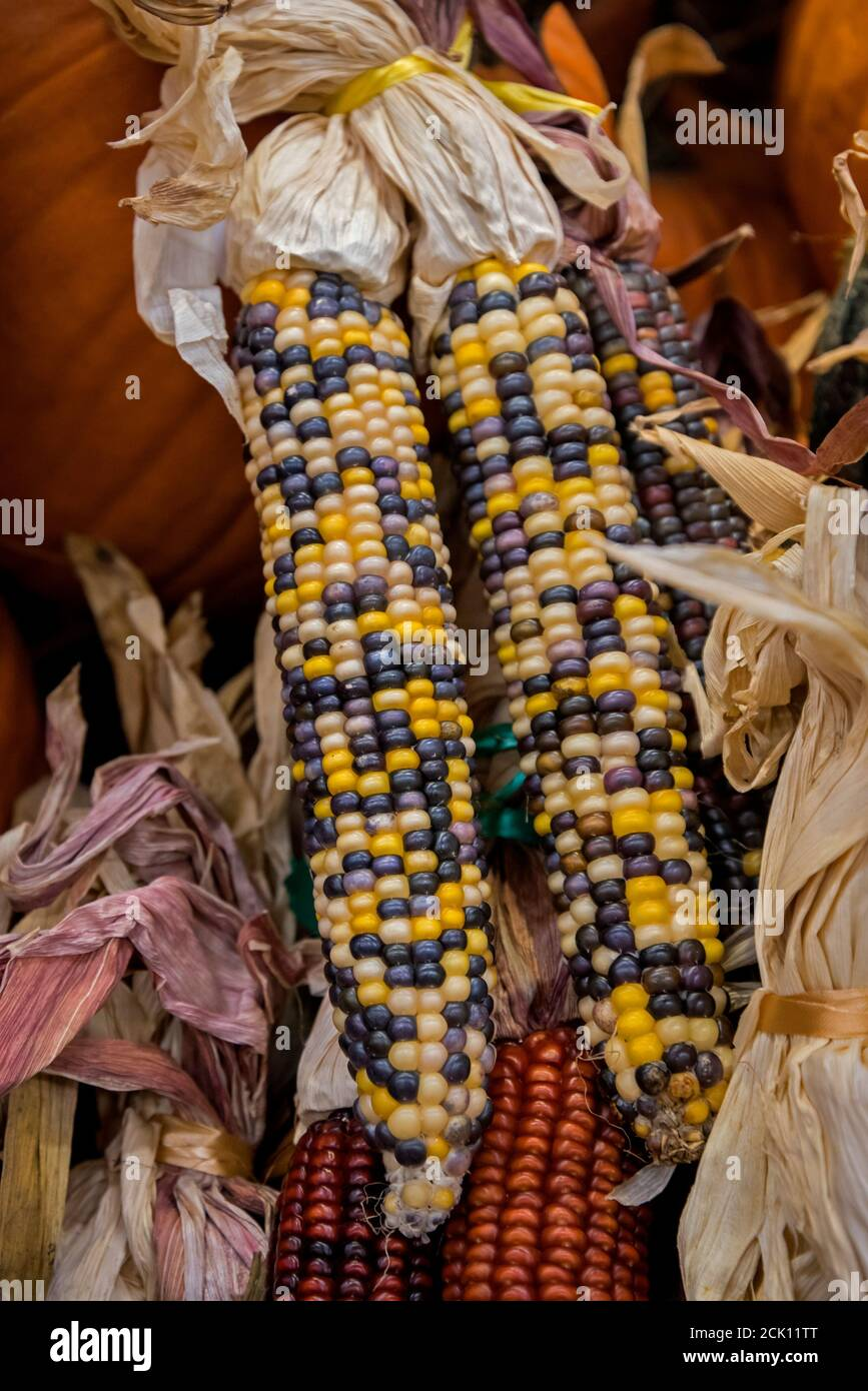 Grocery store Fall display of pumpkins and corn, featuring heirloom and  Native American heritage varieties of corn. Stock Photo