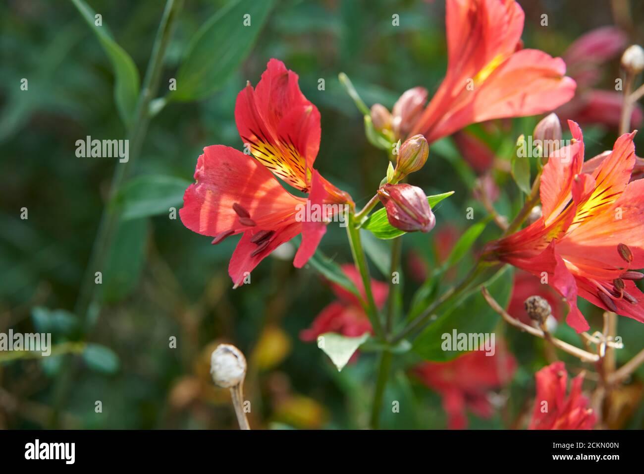 Peruvian Lily Alstroemeria Aurea In A Summer Garden Border Stock Photo Alamy