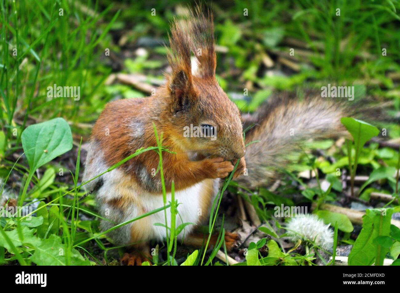 Closeup of a red brown squirrel eating nut during sitting on the green ground Stock Photo