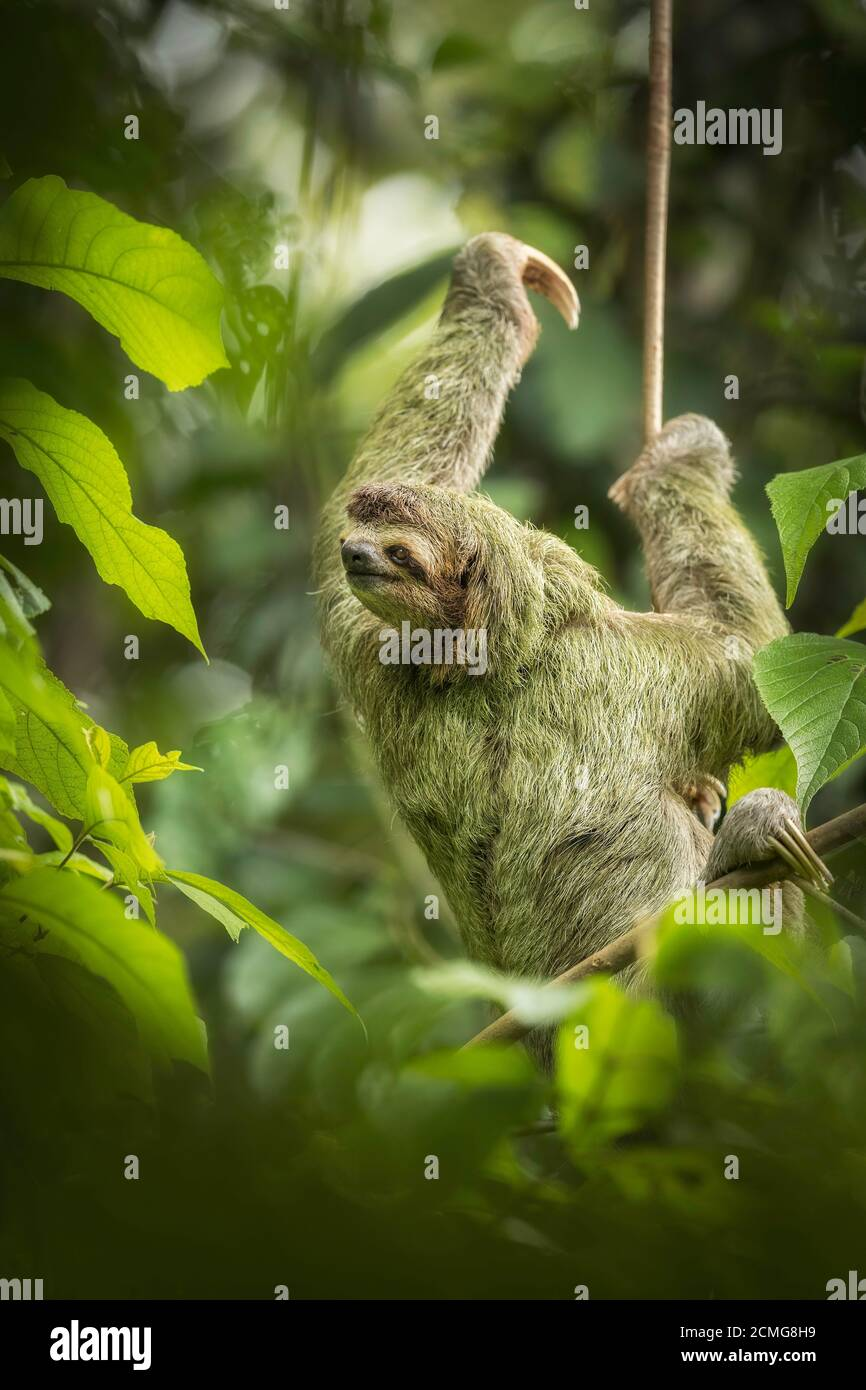 Brown-throated three-toed sloth (Bradypus variegatus) in rainforest habitat,  Manuel Antonio National Park, Costa Rica Stock Photo