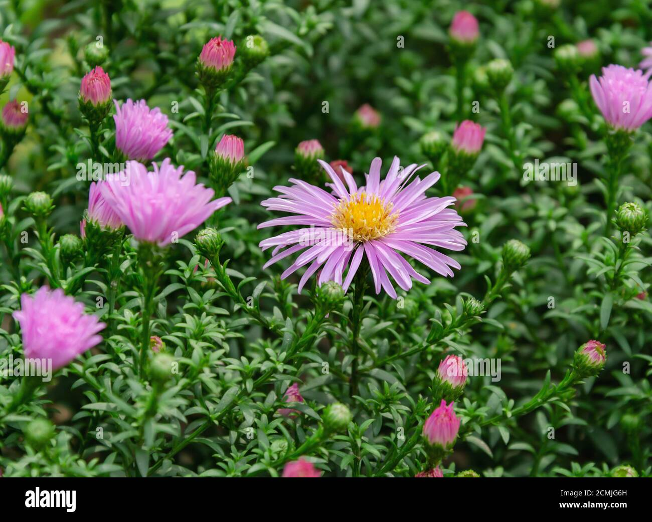 purple autumn flower on a background of green leaves, close up Stock Photo