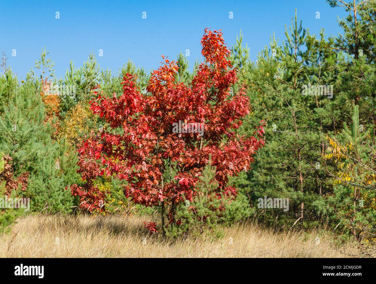 tree with bright red leaves in the autumn forest, close up Stock Photo