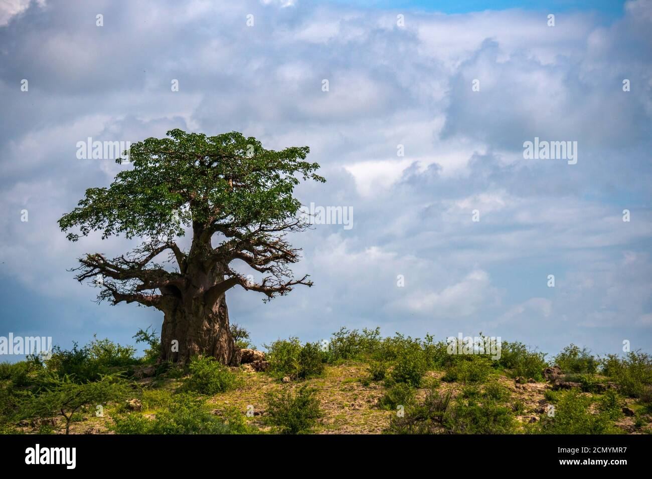 A lonely baobab tree On the top of Slope against cloudy sky background. Arusha Region, Tanzania, Africa Stock Photo