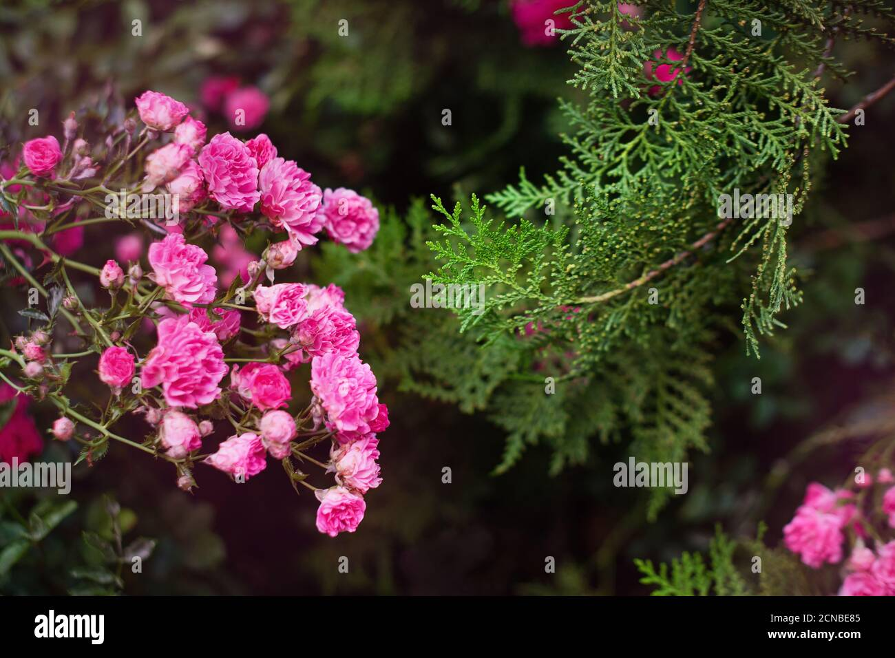 Pink roses in the garden. Blooming climbing roses on the bush. Flowers growing in the garden. Stock Photo