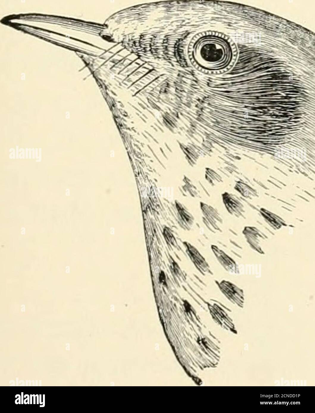 . The birds of Illinois and Wisconsin . , especially, it would seem, in the western part of the state.(Birds of Wisconsin, 1903, p. 126.) Its song is similar to that of the Wilsons Thrush. 361. Hylocichla aliciae (Baird). Gray-cheeked Thrush. TUrdus alicicE Baird, ±. O. U. Check List, 1895, p. 317.Distr.: Northern and eastern North America, breeding far north-ward (Newfoundland, Labrador, Mackenzie region, Alaska, etc.),migrating south, east of the Rocky Mountains to the Greater itilles,Central America, and northern South America. Adult: Upper parts, uniform olive, with little or no differenc Stock Photo
