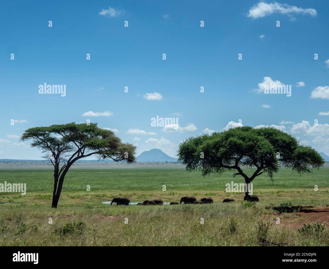 A herd of African bush elephants (Loxodonta africana), Tarangire National Park, Tanzania, East Africa, Africa Stock Photo