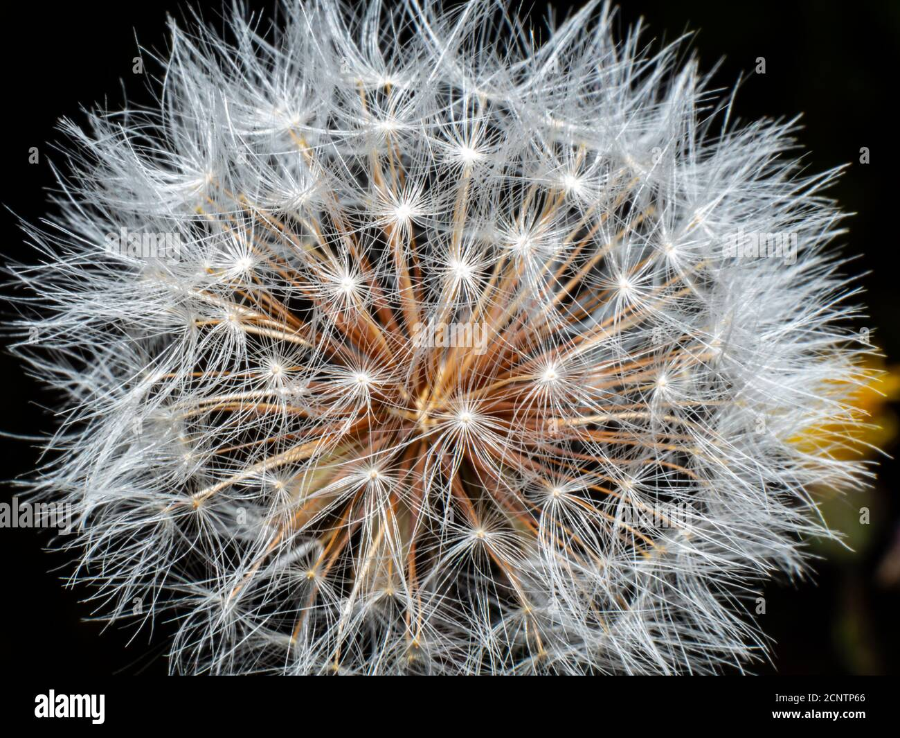 Blooming dandelion before wind close up Stock Photo