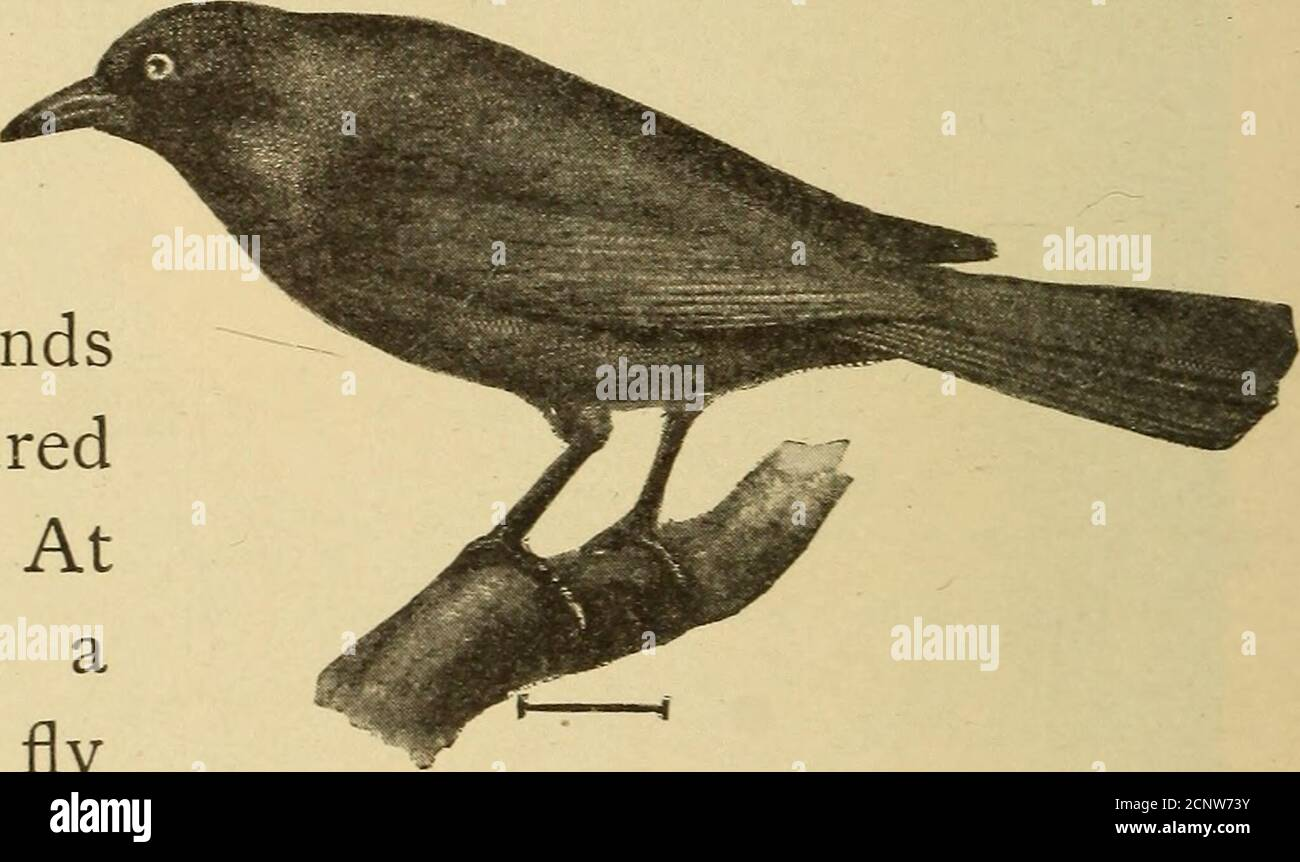 . Half hours with fishes, reptiles, and birds . Fig. 212. —Baltimore Oriole. Bullocks oriole, so famous for its pendulous nests (Fig. 2Il). The Baltimore oriole (Fig. 212) has a costume of orange-red, its head black,also the upper backand wings. The tailis orange and black.Its note is melodi-ous and as striking asits general appearance.The blackbirds (Fig.213) are interestingcreatures. Some nest inmy garden in orangetrees, in May. The red-winged blackbird is the commonform in the great swamps along the Pacific. These birdsroost in the tulle swamps, and I have watched them risingat sunrise, a m Stock Photo