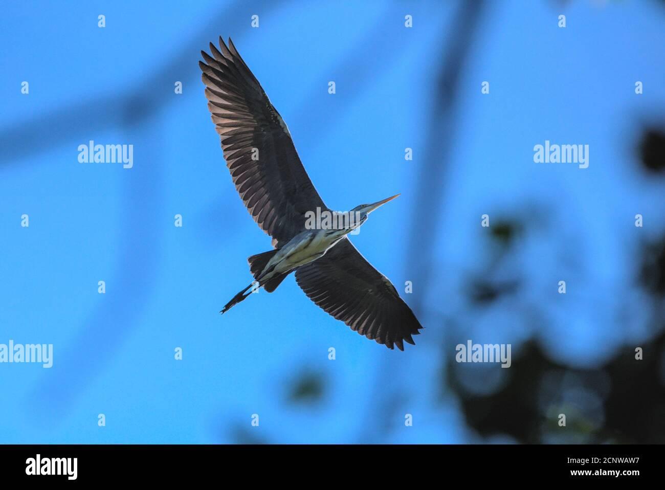 Nahaufnahme eines Graureihers im Flug Stock Photo