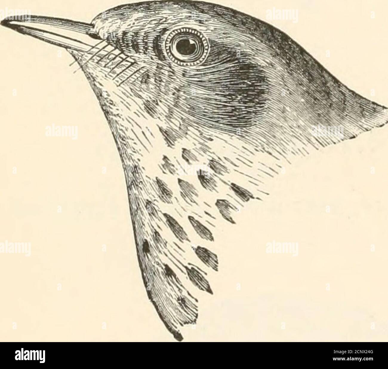 . The birds of eastern North America known to occur east of the nineteenth meridian .. . upper plumage, brownish olive; ends ofupper tail coverts <iud tail, rufous brown,much more rufous than the back; uo white ou tail; first primary, very smalland narrow. Hermit Thrush. Turdus aonalaschk(e pallasii.See No. 5G5.. Back, rump, and upper tail coverts, olive, about the same color; eye ringand lores, white, sometimes faintlytinged with buff, but the eye ring neverdecidedly buff, as in sxoainsoni; uo whiteon wing coverts. Qray-cheeked Thrush. Turdus alicke, and races.See No. 562. Stock Photo