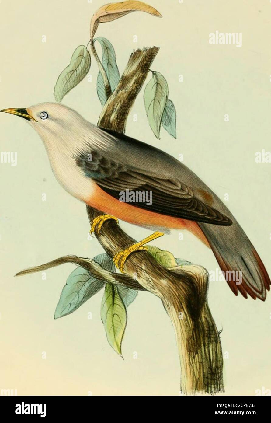. Illustrations of Indian ornithology : containing fifty figures of new, unfigured and interesting species of birds, chiefly from the south of India . iefly the forests of Malabar, and the other high jungles of the westerncoast. I add what Mr. Blyth says on their_ points of difference. The two species agreeexactly in size and colouring of feathers, except that yours has a yellow throat in bothsexes ; bu the form of the bill is essentially different, and there are several other distinctions.Tr. aromaticus verus (from Bengal andArracan) has a very much stronger bill, the corneousportion of which Stock Photo