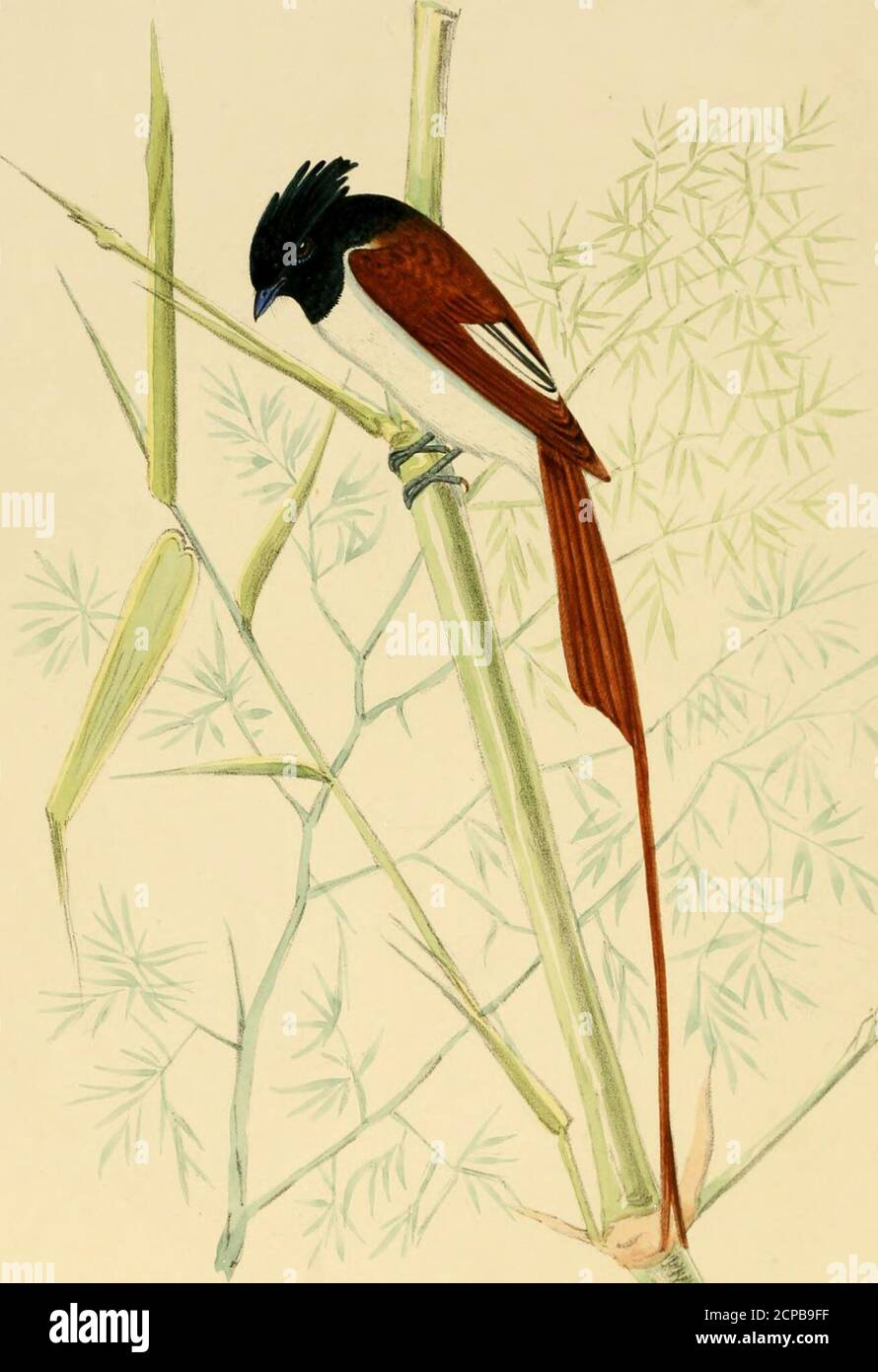 . Illustrations of Indian ornithology : containing fifty figures of new, unfigured and interesting species of birds, chiefly from the south of India . d that it lays its eggs onthe ground in a tuft of grass. It is far from being an uncommon biid, and most Sportsmenwhether after snipe, florikin, or quail must have flushed hundreds of them. The Hia- Illustrations of Indian Ornithology ; dustani name signifies Grass Warbler, the -n-ord Phootkee, or Pitpittee, being apiDlicd indis-criminately to all the small PrinicB and Syhiw, in this case however with a distinct specificappellation indicative of Stock Photo