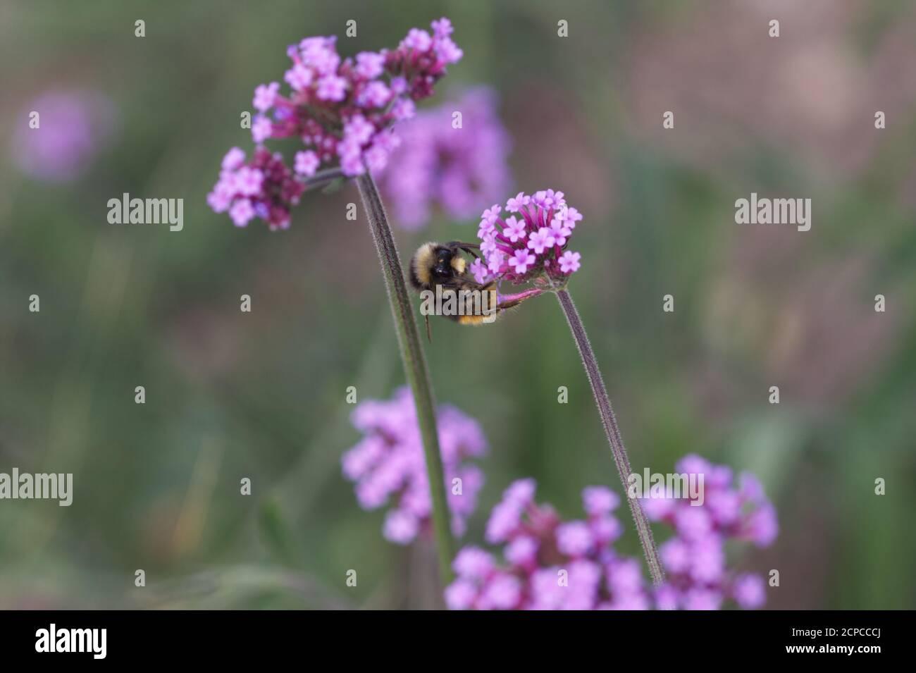 Bumblebee on flower of Verbena bonariensis Stock Photo